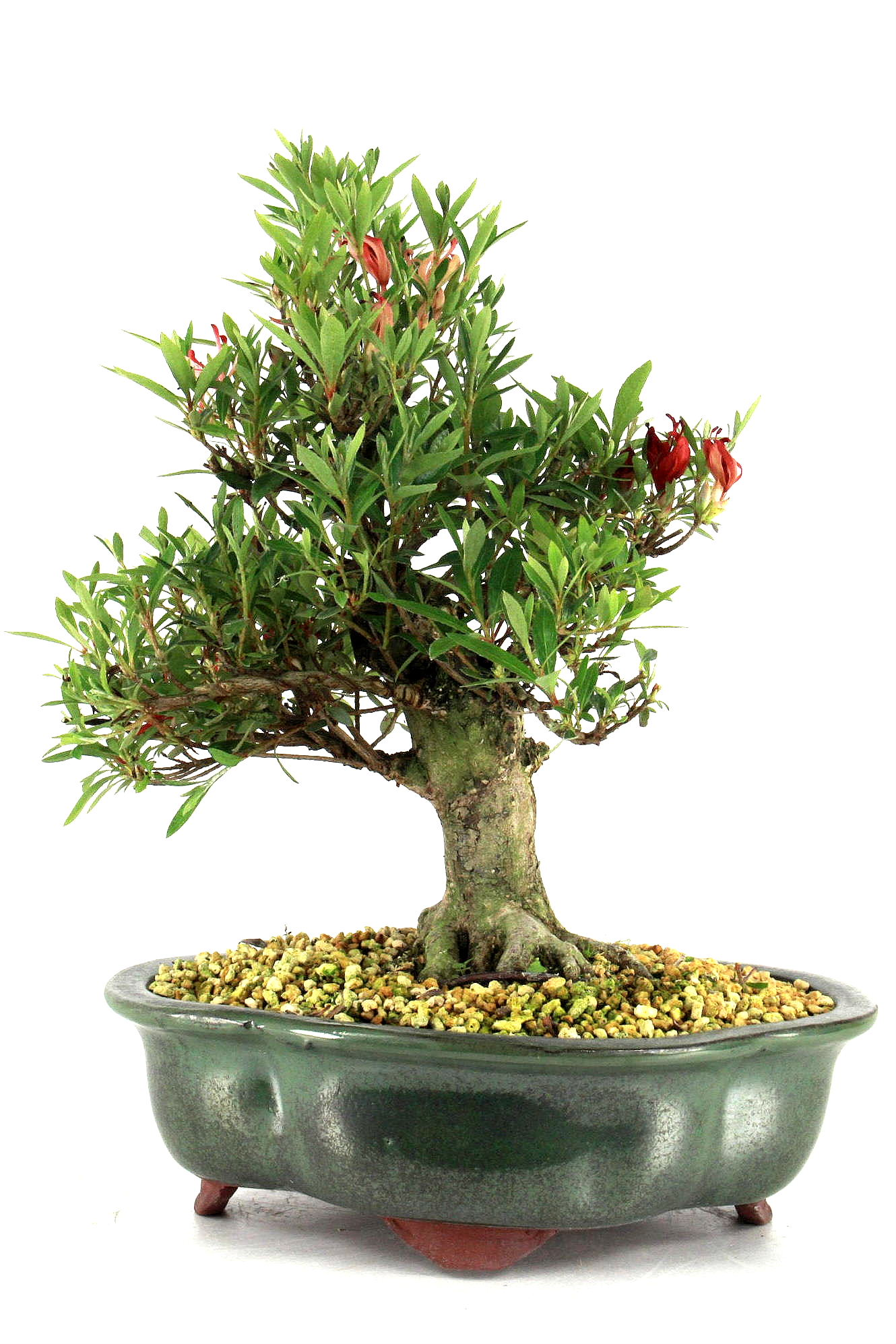 Azalee rhododendron indicum 32 cm 2512 bei oyaki bonsai kaufen for Bonsai onlineshop