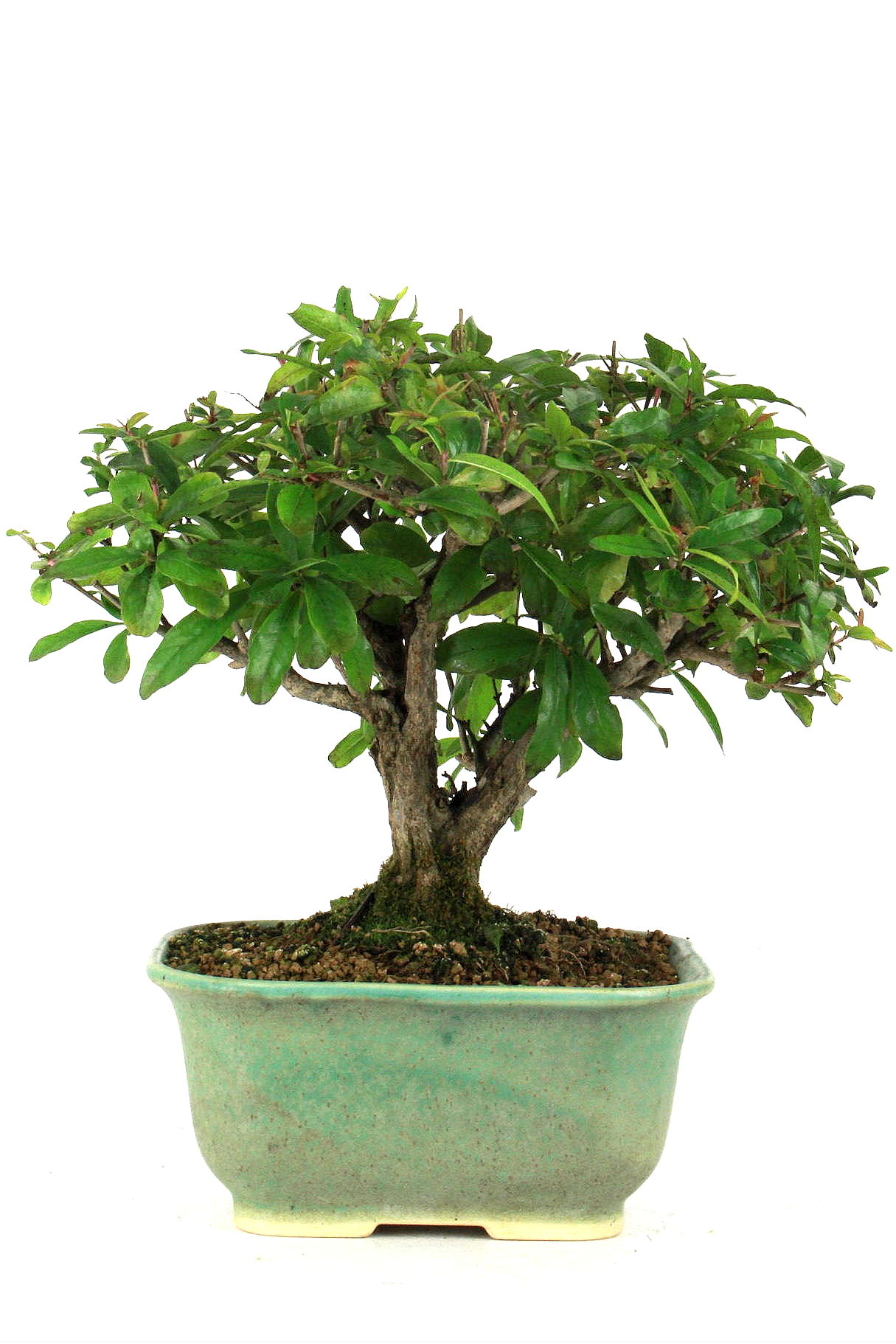 Granatapfel bersicht onlineshop oyaki bonsai for Bonsai onlineshop