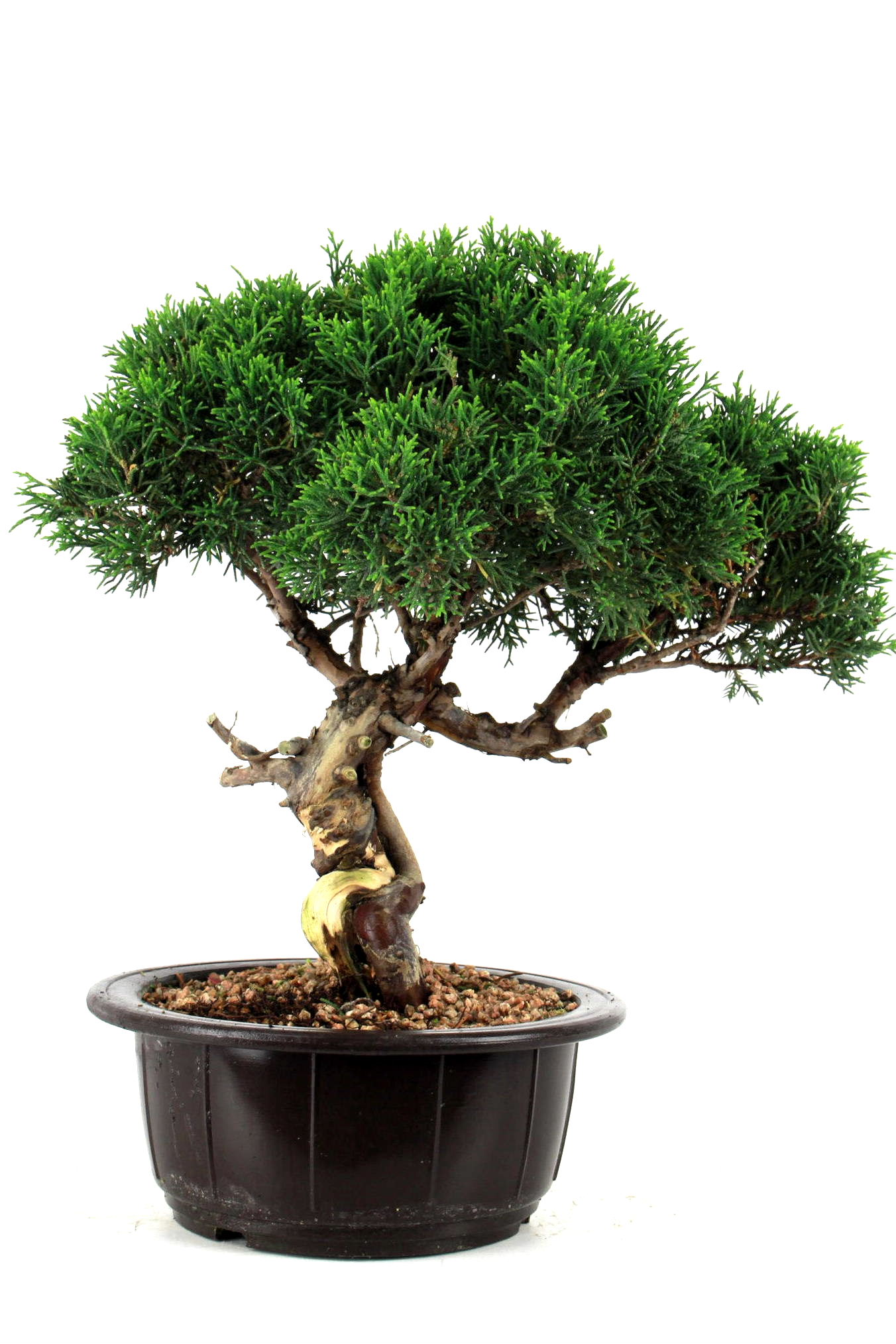 Prebonsai wacholder juniperus chinensis 35 cm p2111 bei for Bonsai onlineshop