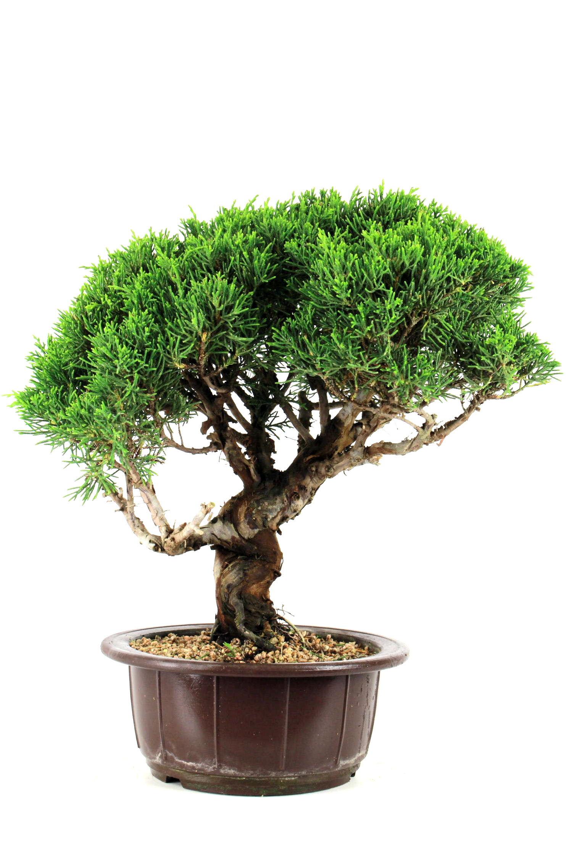 wacholder bersicht onlineshop oyaki bonsai. Black Bedroom Furniture Sets. Home Design Ideas