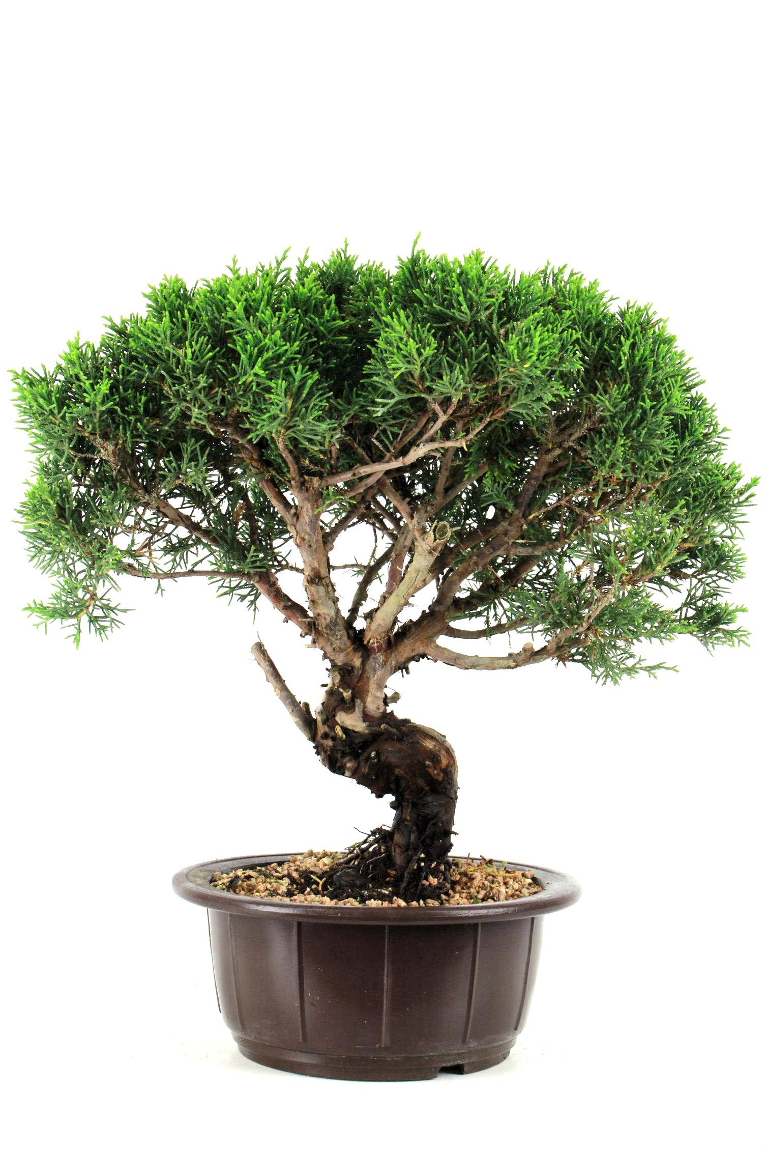 prebonsai wacholder juniperus chinensis 35 cm p2113 bei oyaki bonsai kaufen. Black Bedroom Furniture Sets. Home Design Ideas