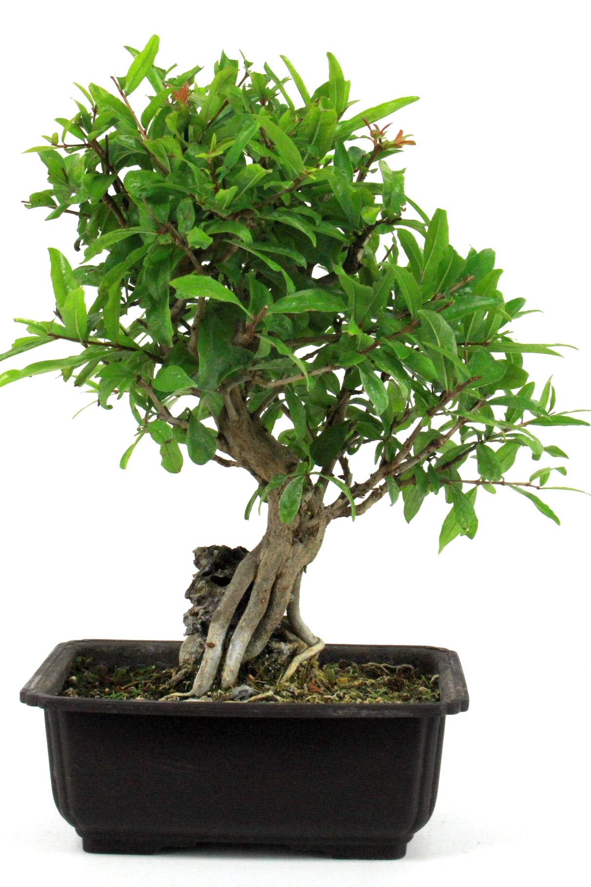granatapfel ber stein 30 cm 186 bei oyaki bonsai kaufen. Black Bedroom Furniture Sets. Home Design Ideas