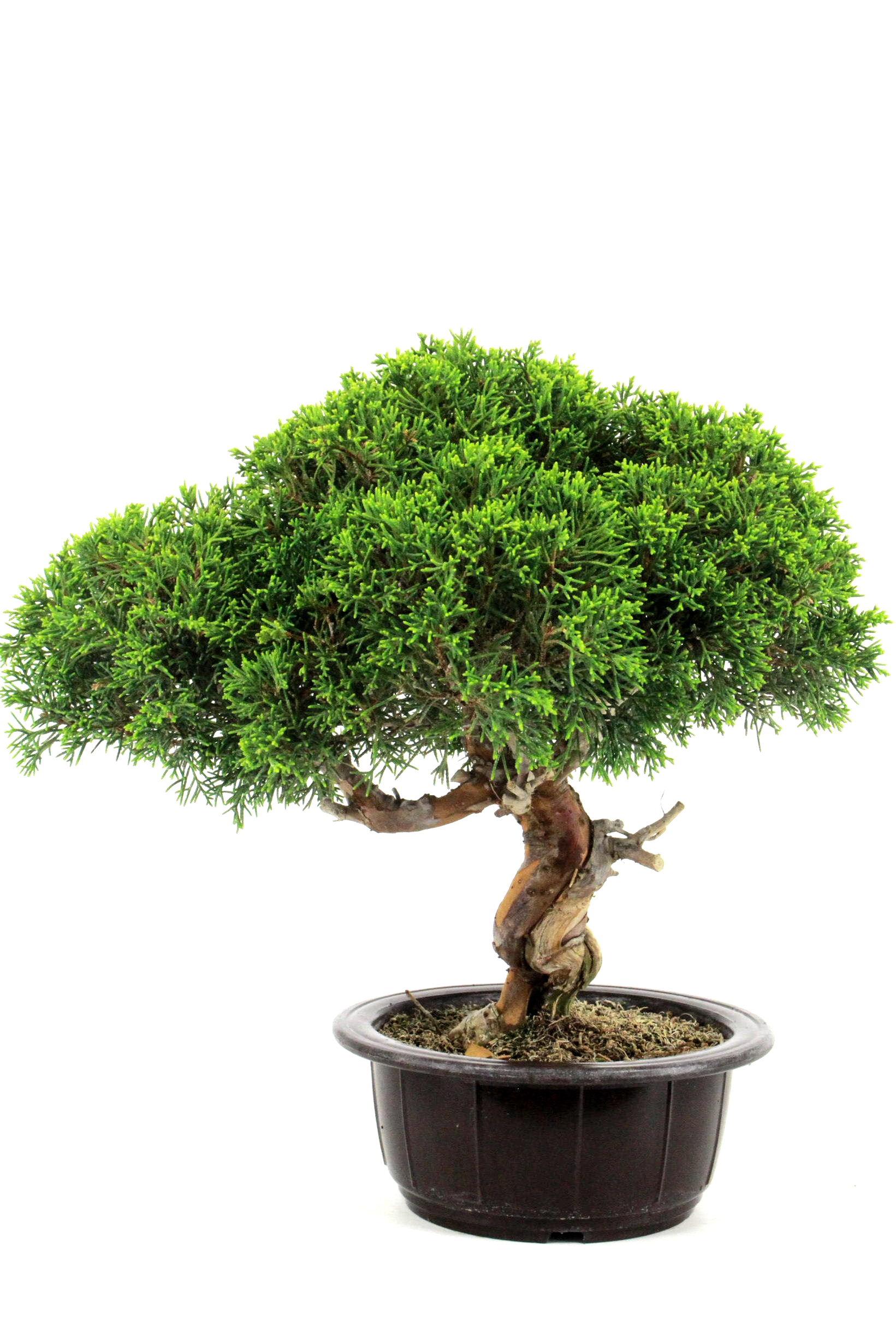 bonsai wacholder juniperus chinensis aus japan 47 cm bei oyaki bonsai kaufen. Black Bedroom Furniture Sets. Home Design Ideas