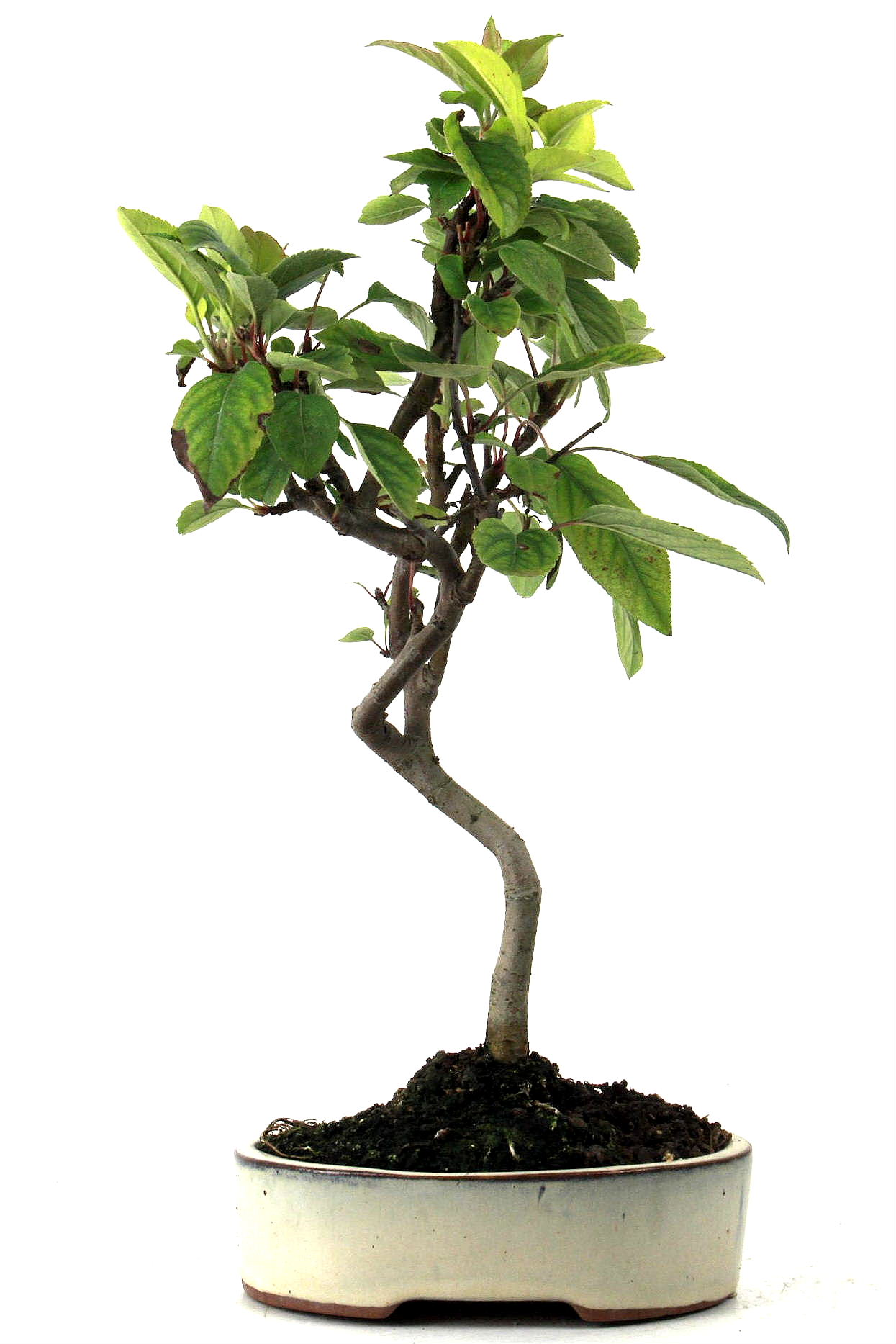 Bonsai apfel malus halliana 35 cm 153 bei oyaki bonsai kaufen for Bonsai onlineshop
