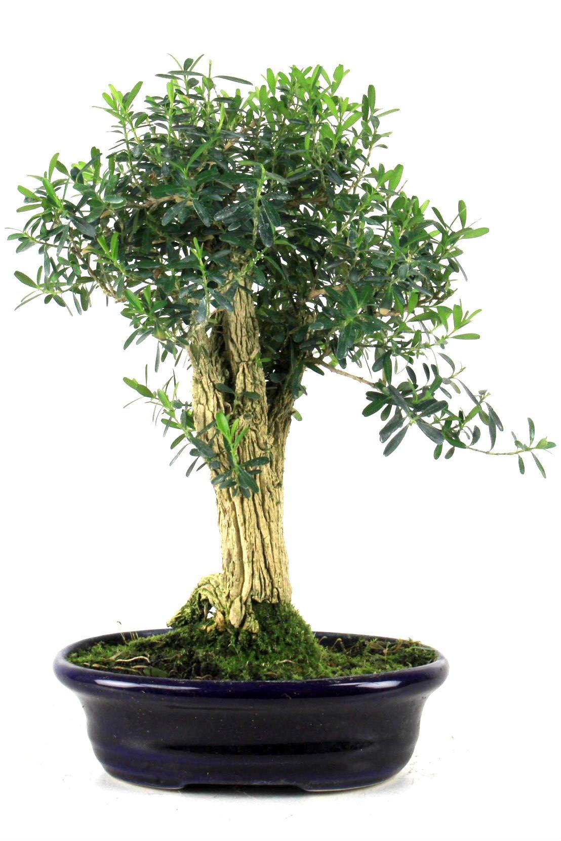 harland buxbaum 33 cm 30 bei oyaki bonsai kaufen. Black Bedroom Furniture Sets. Home Design Ideas