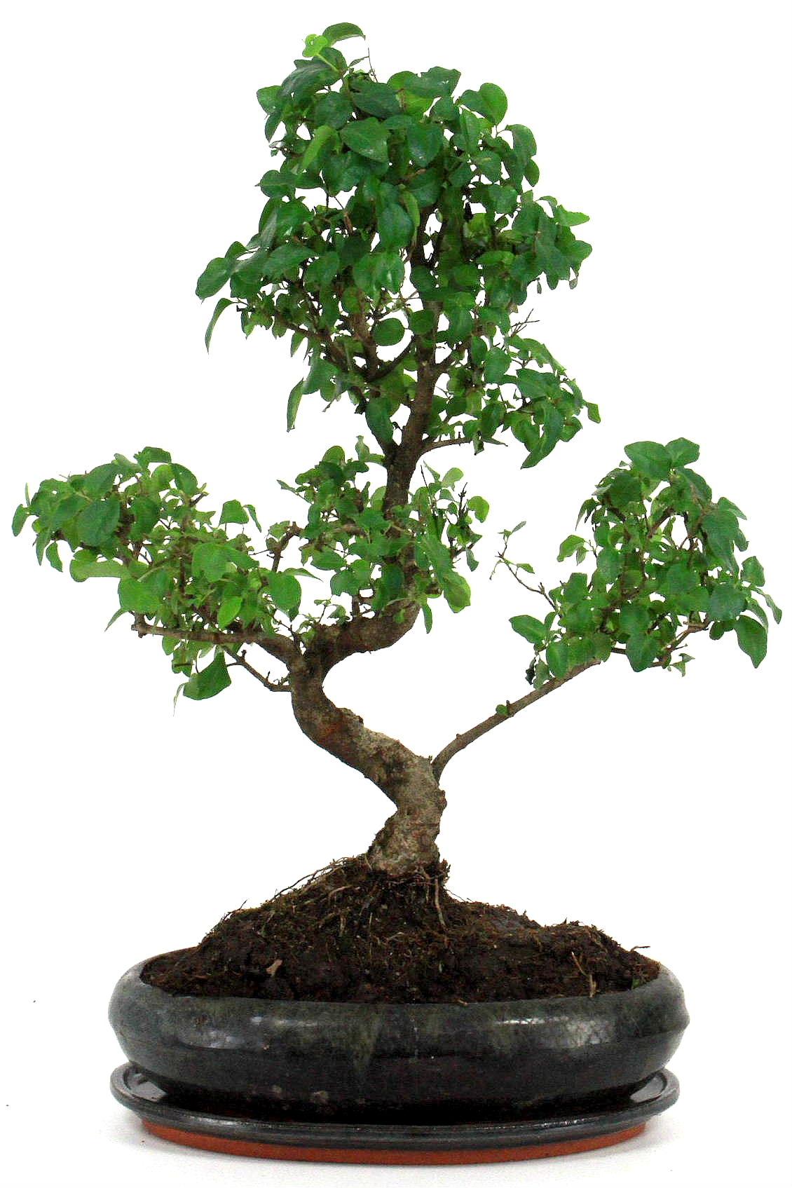 chinesischer liguster 45 50 cm 297 bei oyaki bonsai kaufen. Black Bedroom Furniture Sets. Home Design Ideas