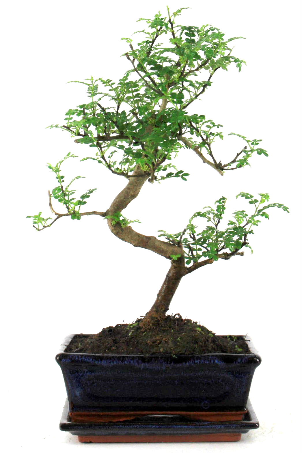 szechuan pfeffer 40 cm 189 bei oyaki bonsai kaufen. Black Bedroom Furniture Sets. Home Design Ideas