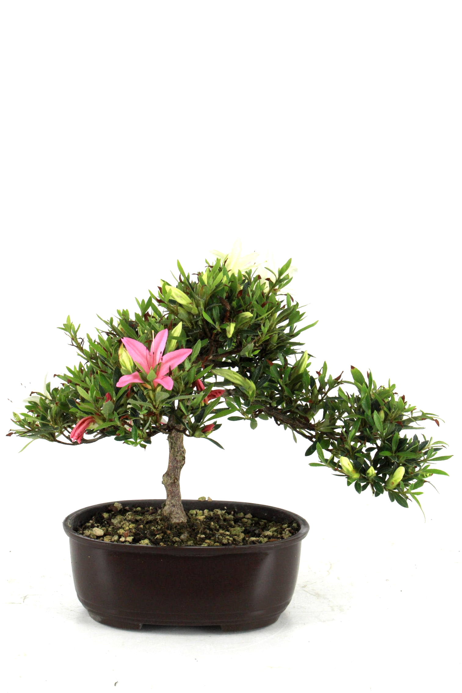 Azalee rhododendron indicum 23 cm p169 bei oyaki bonsai kaufen for Bonsai onlineshop