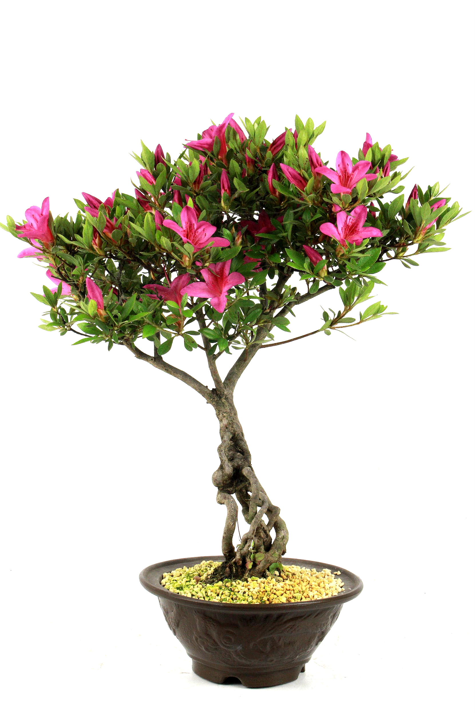 Azaleen bersicht onlineshop oyaki bonsai for Bonsai onlineshop