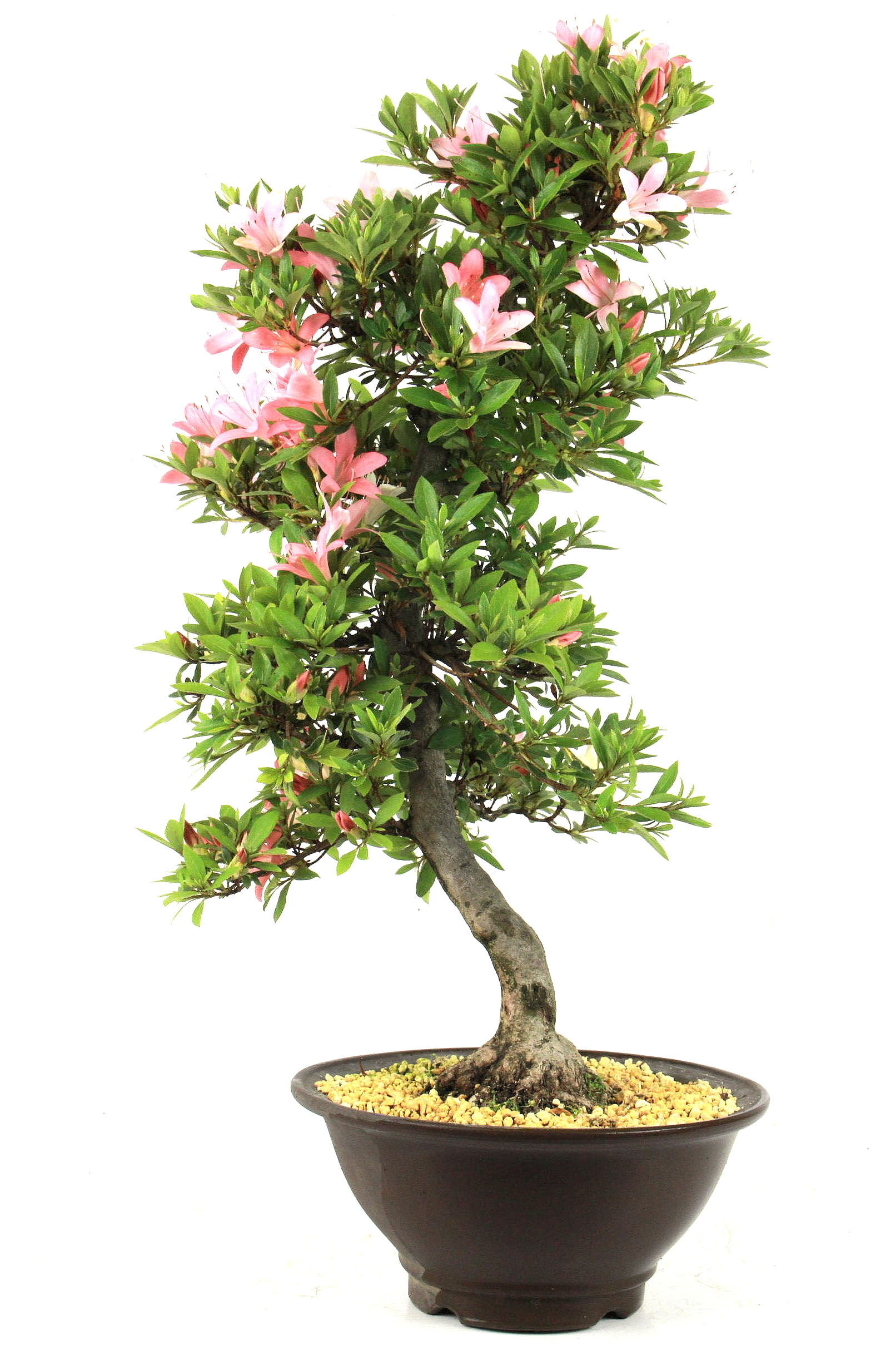 Azalee rhododendron indicum 61 cm 222 bei oyaki bonsai kaufen for Bonsai onlineshop