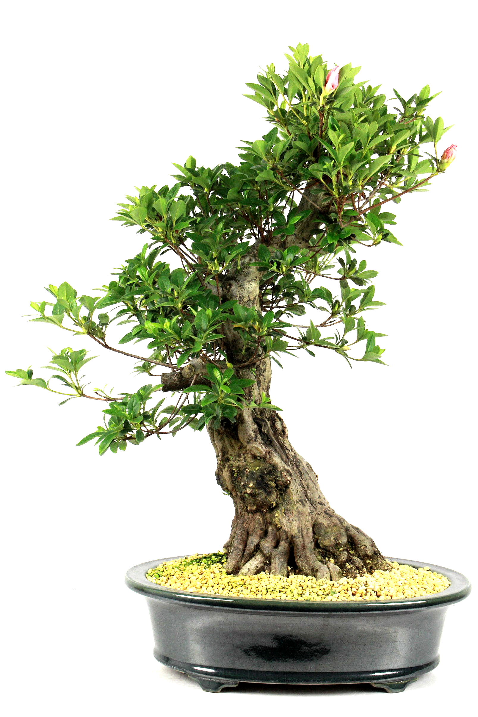 Azalee rhododendron indicum 60 cm 347 bei oyaki bonsai kaufen for Bonsai onlineshop