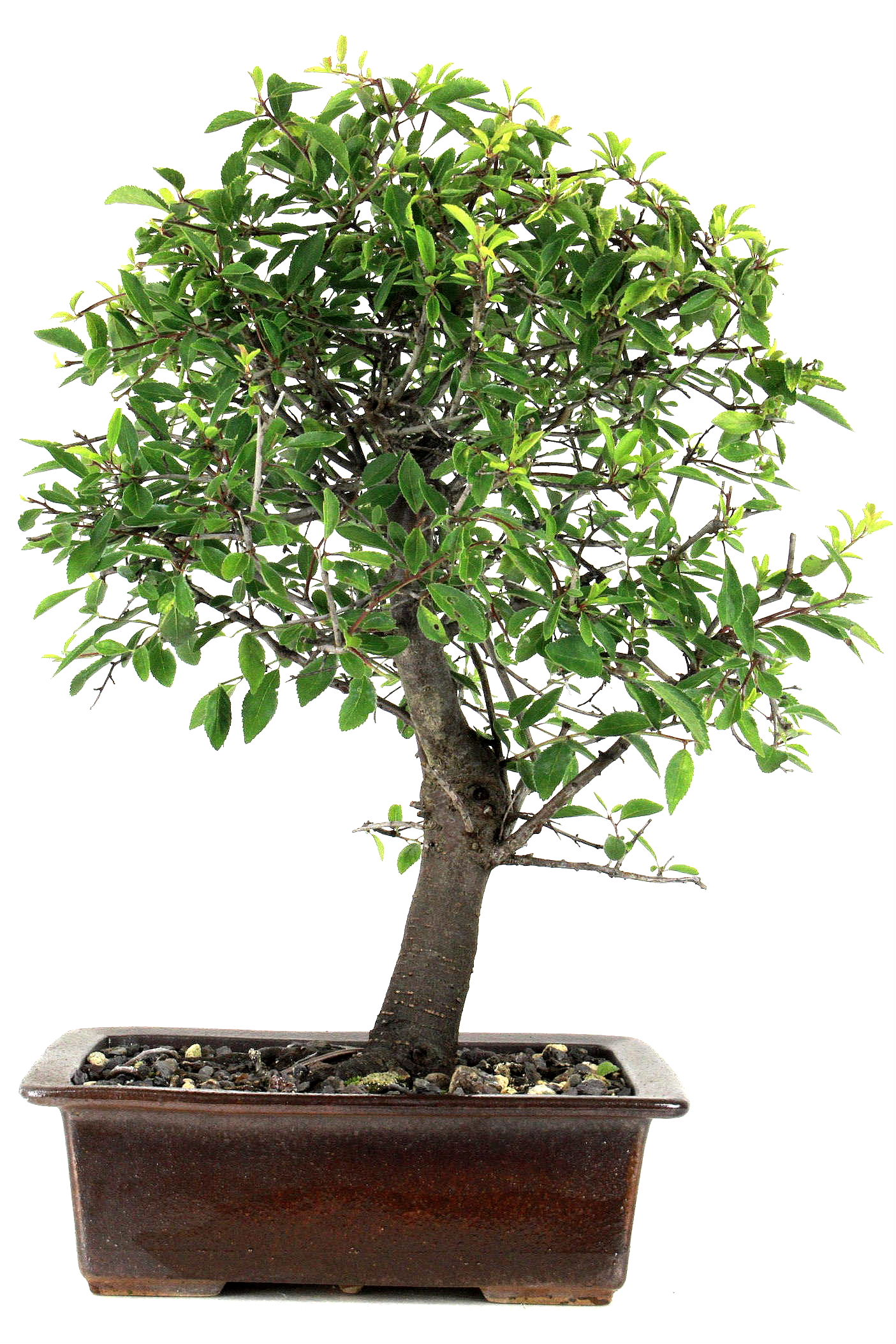 schlehe prunus spinosa 43 cm 242 bei oyaki bonsai kaufen. Black Bedroom Furniture Sets. Home Design Ideas