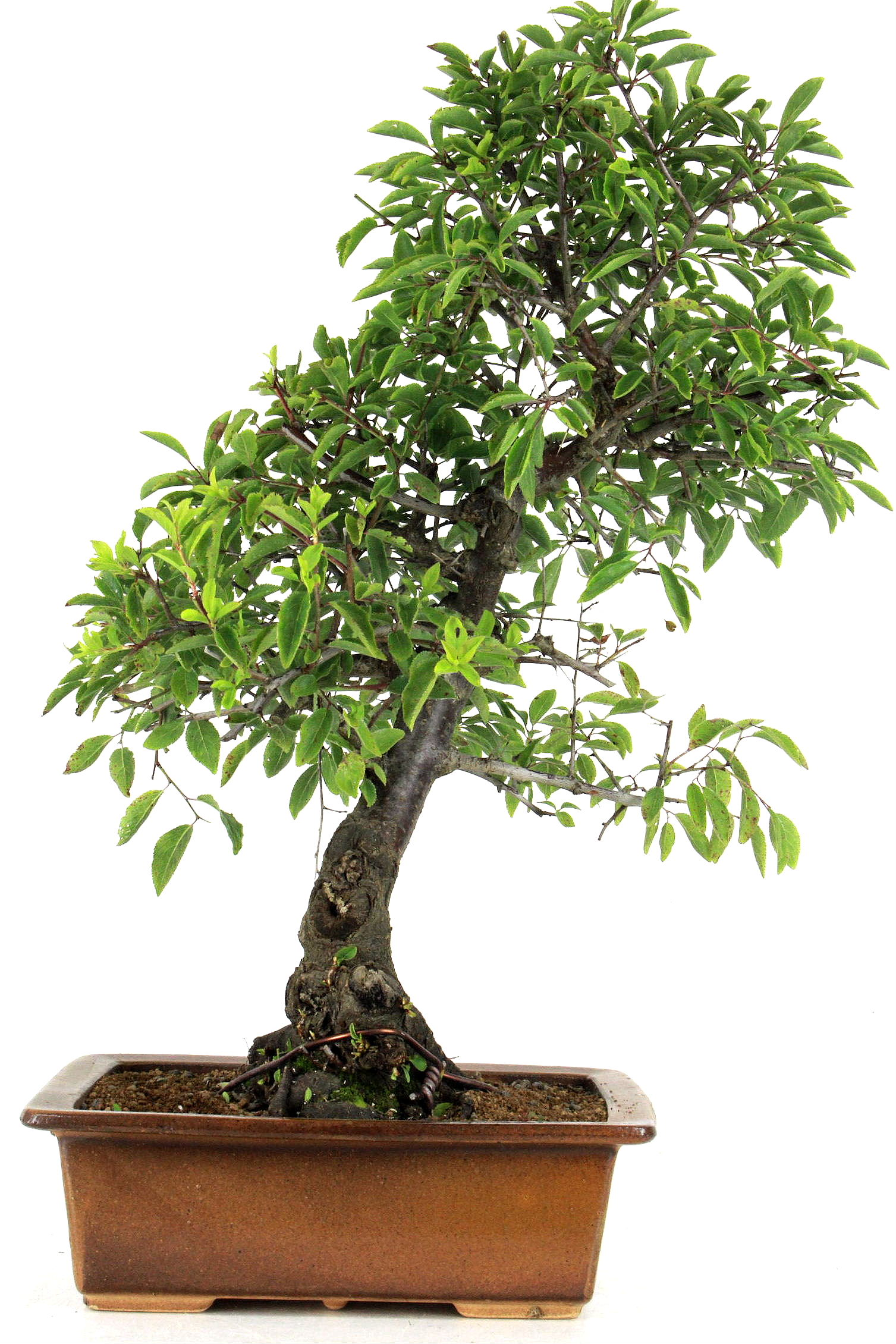 schlehe prunus spinosa 49 cm 245 bei oyaki bonsai kaufen. Black Bedroom Furniture Sets. Home Design Ideas