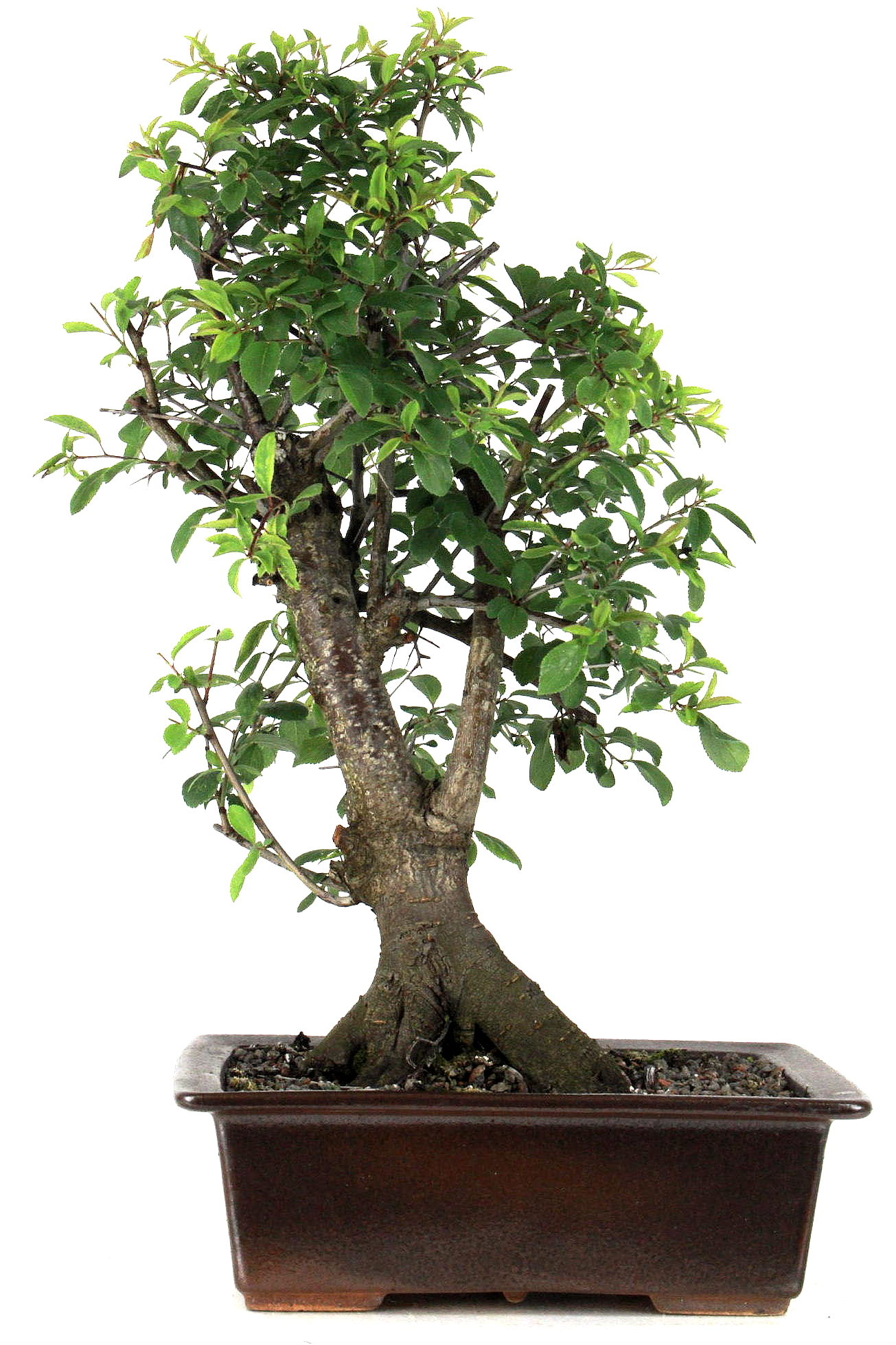 schlehe prunus spinosa 45 cm 238 bei oyaki bonsai kaufen. Black Bedroom Furniture Sets. Home Design Ideas
