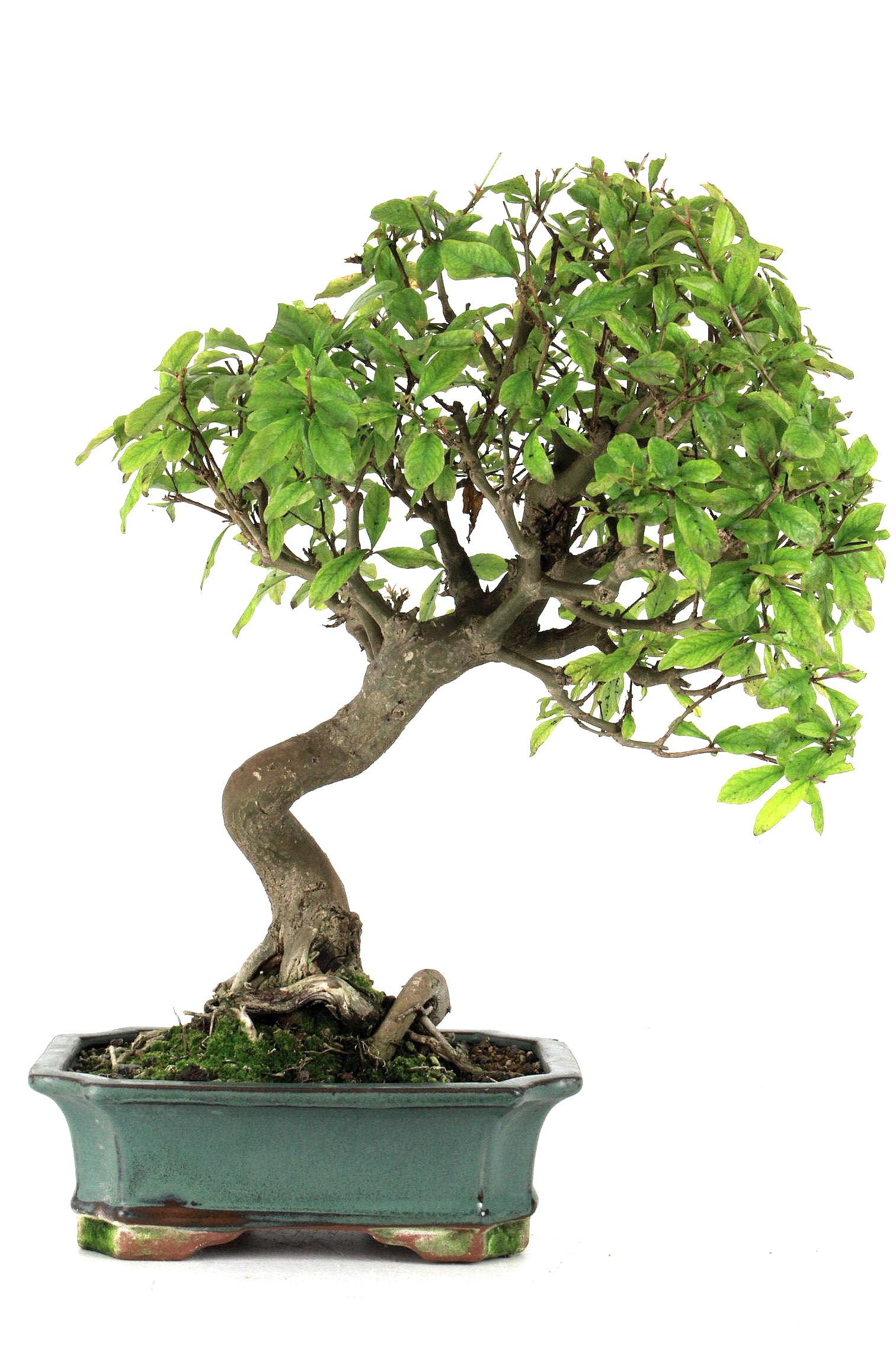 granatapfel 42 cm 194 bei oyaki bonsai kaufen. Black Bedroom Furniture Sets. Home Design Ideas