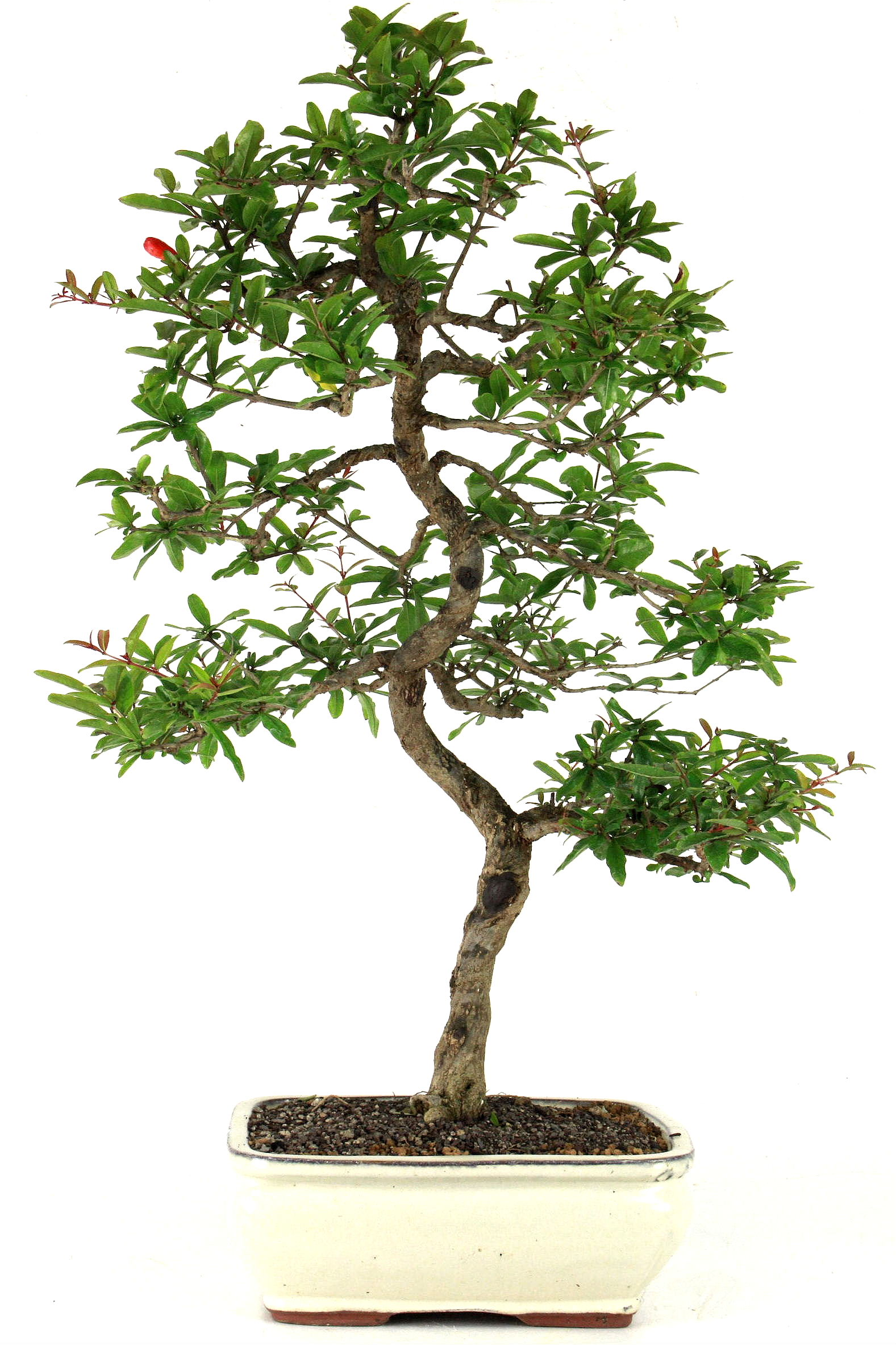 Granatapfel 67 cm 2534 bei oyaki bonsai kaufen for Bonsai onlineshop