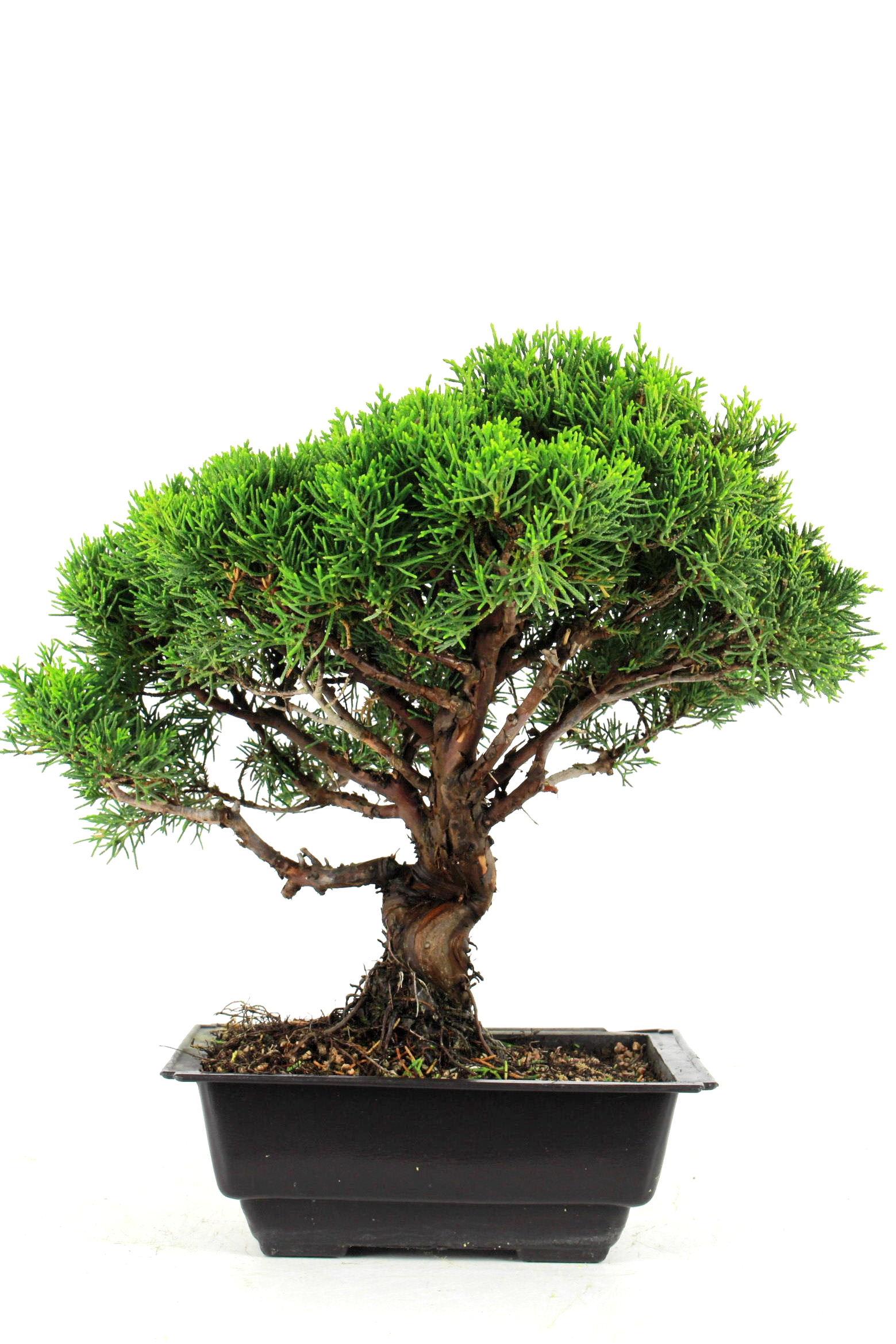 wacholder juniperus chinensis 35 cm p2111 bei oyaki bonsai kaufen. Black Bedroom Furniture Sets. Home Design Ideas