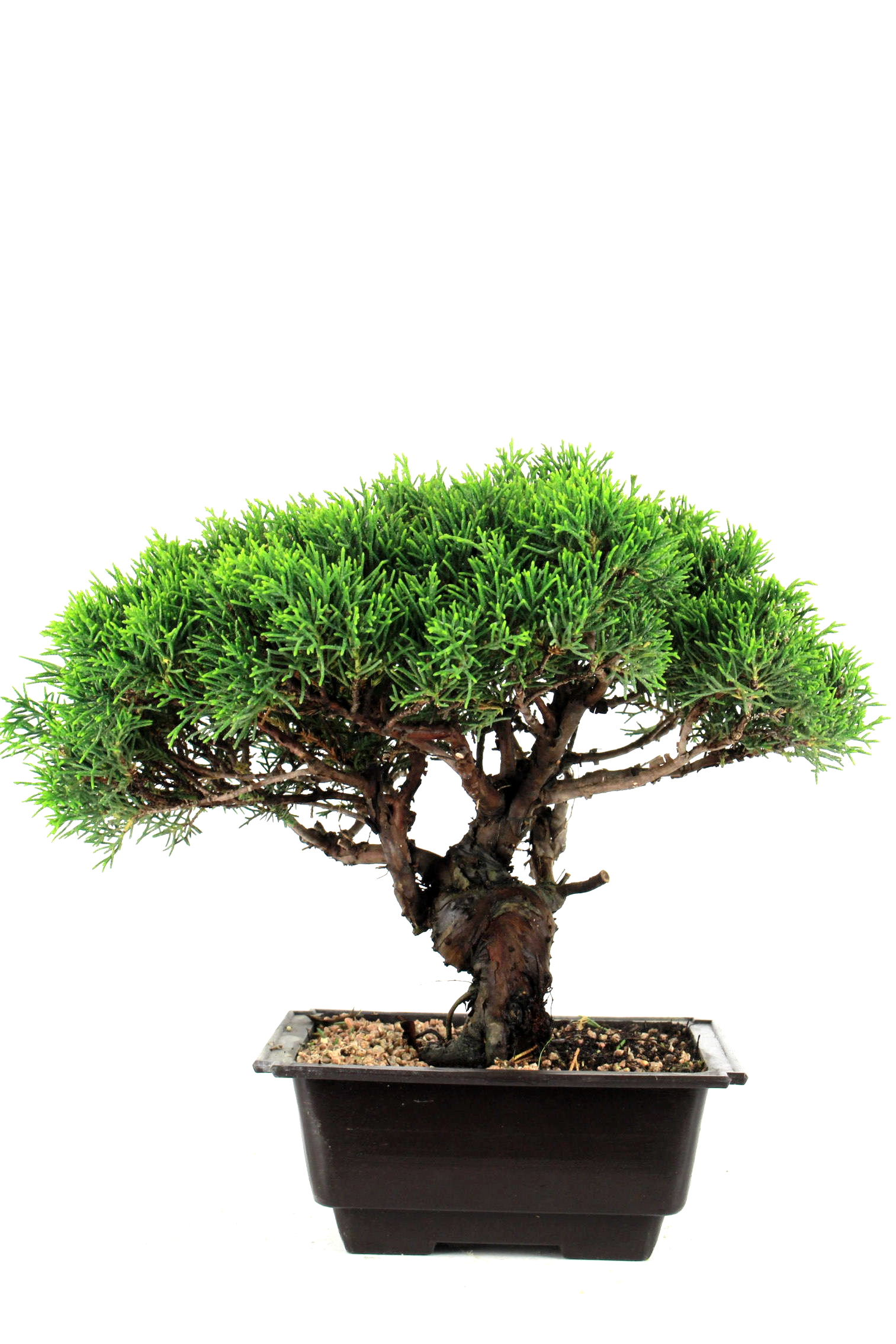 Prebonsai wacholder juniperus chinensis 35 cm p216 bei for Bonsai onlineshop
