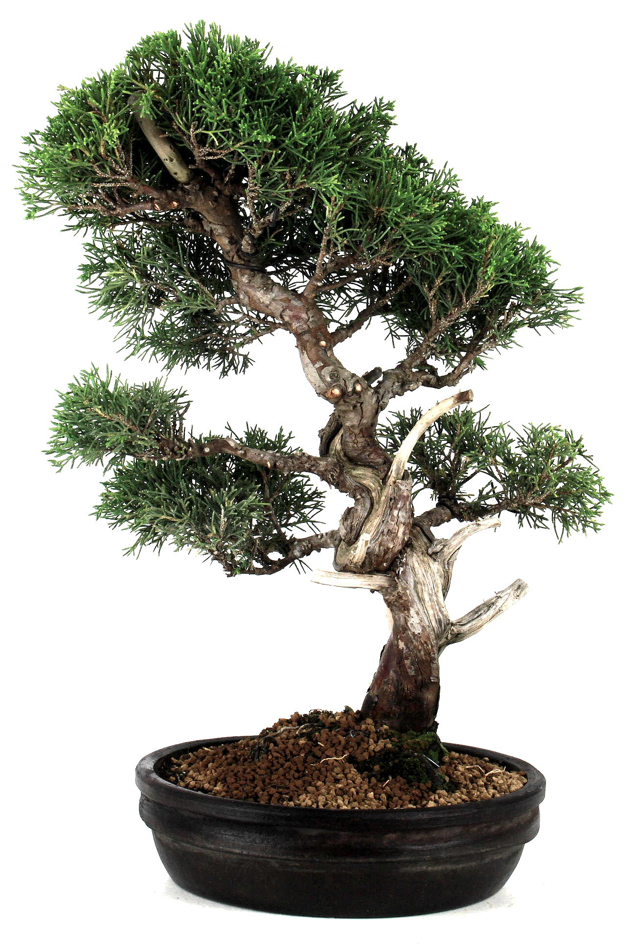 bonsai wacholder juniperus chinensis 42 cm r215 bei oyaki. Black Bedroom Furniture Sets. Home Design Ideas