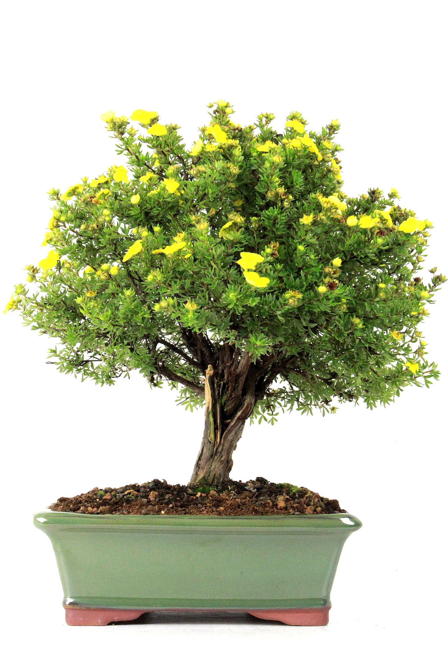 fingerstrauch bersicht onlineshop oyaki bonsai. Black Bedroom Furniture Sets. Home Design Ideas