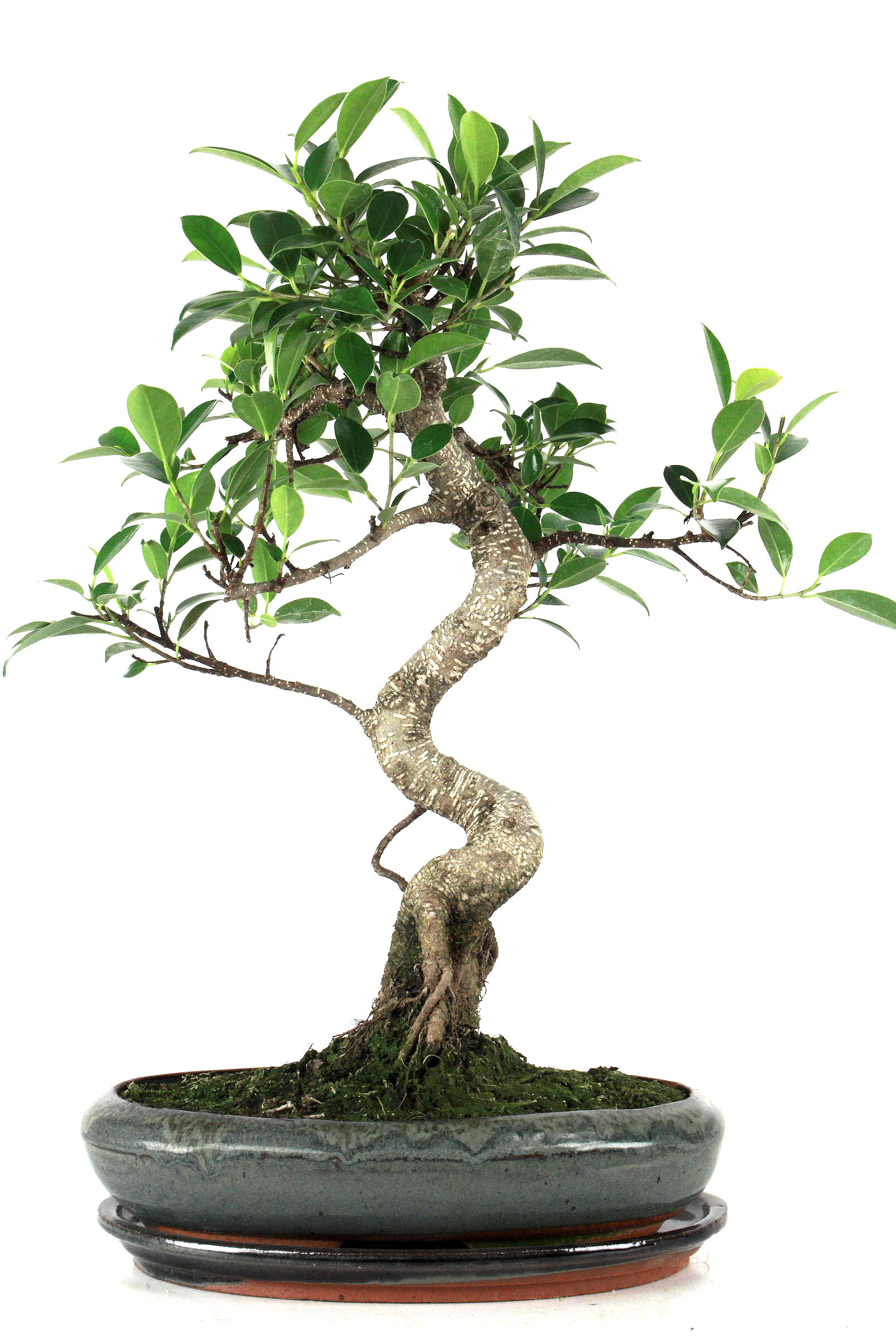 ficus retusa 35 40 cm 234 bei oyaki bonsai kaufen. Black Bedroom Furniture Sets. Home Design Ideas