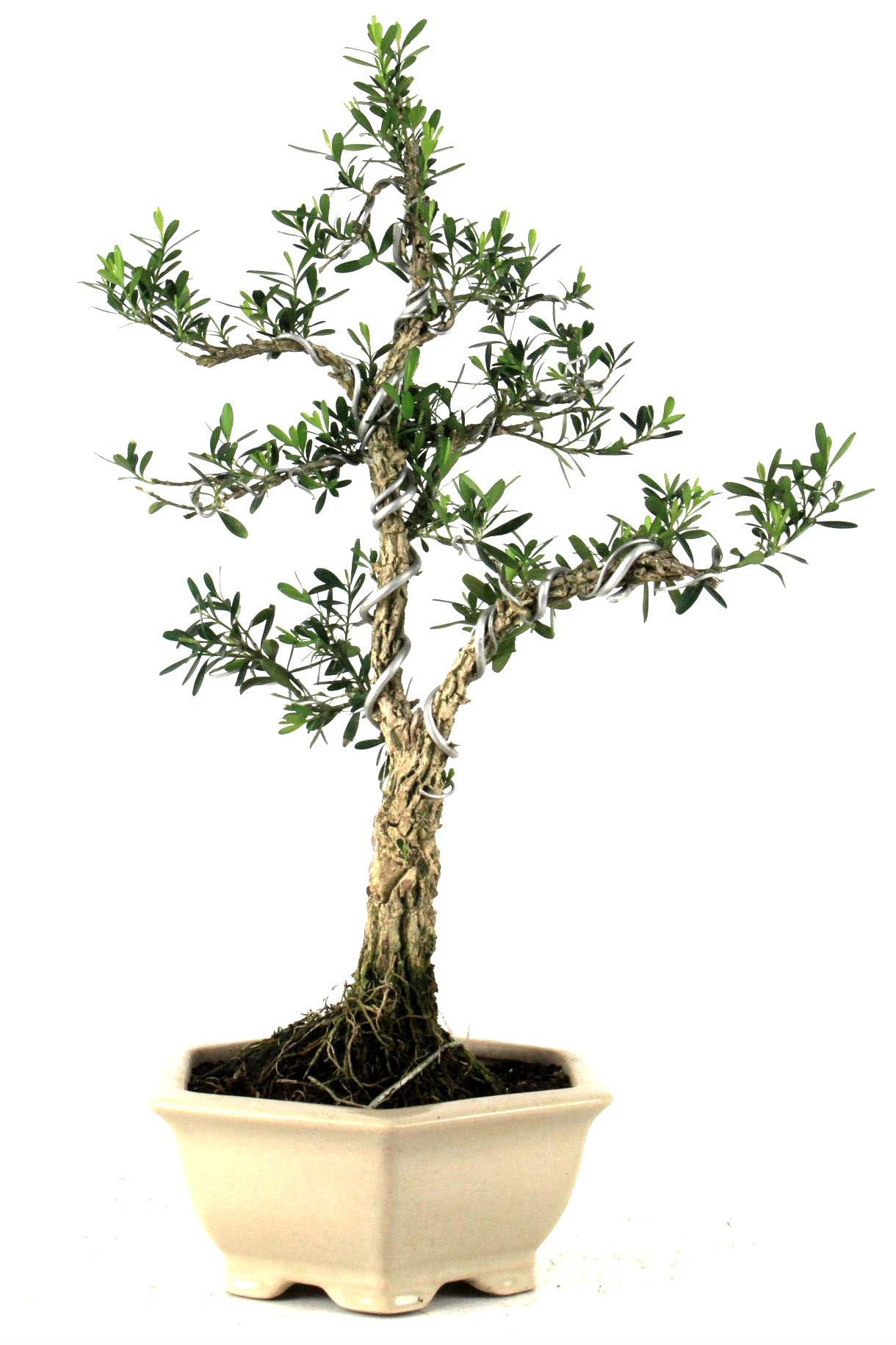 harland buxbaum 37 cm 7 bei oyaki bonsai kaufen. Black Bedroom Furniture Sets. Home Design Ideas