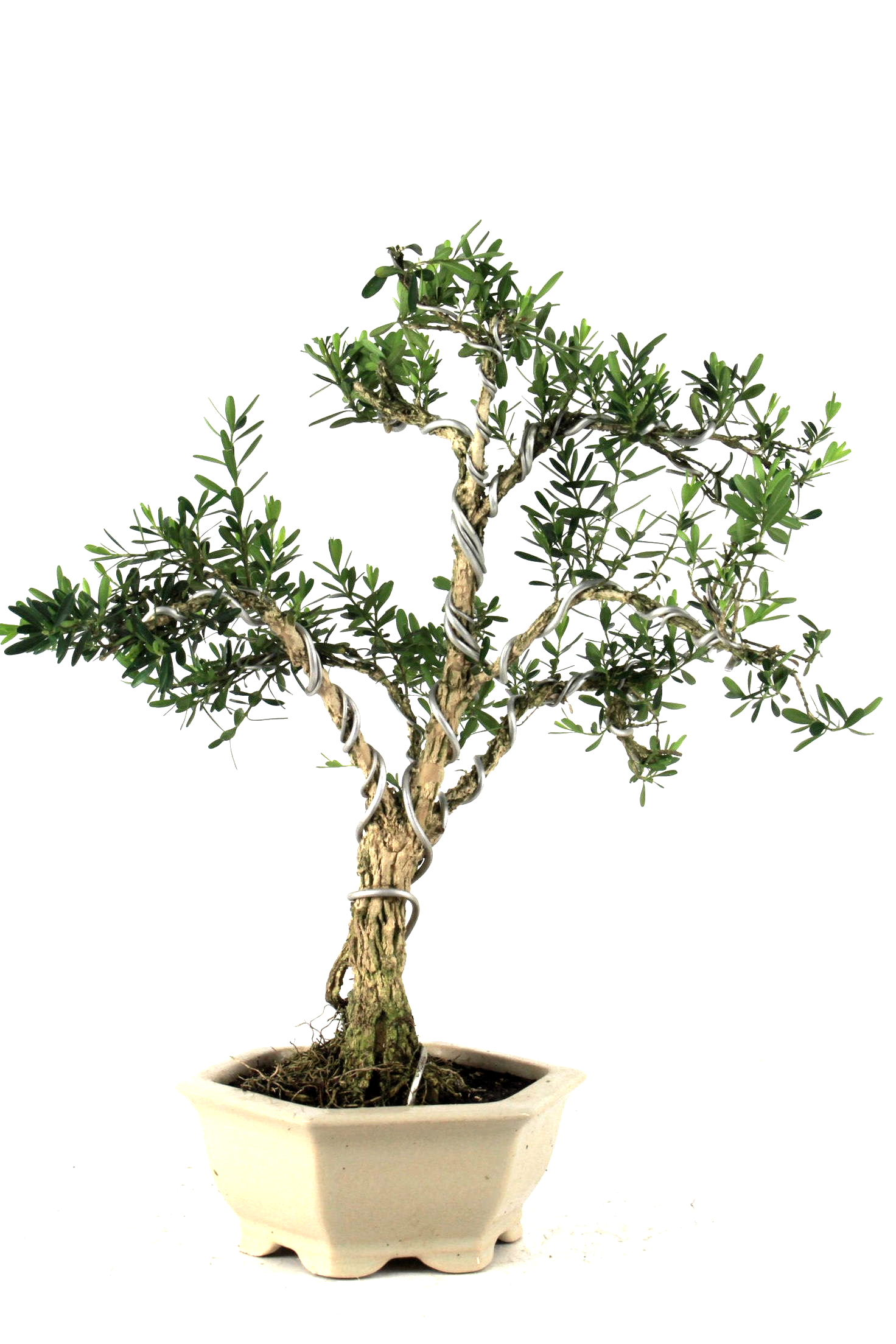 harland buxbaum 36 cm 12 bei oyaki bonsai kaufen. Black Bedroom Furniture Sets. Home Design Ideas