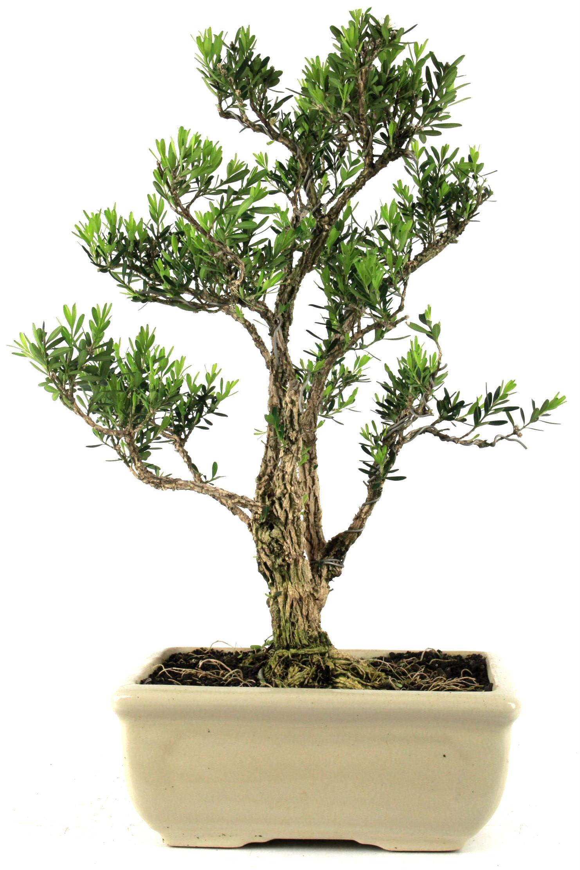 harland buxbaum 40 cm 4 bei oyaki bonsai kaufen. Black Bedroom Furniture Sets. Home Design Ideas