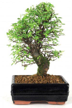 japanische ulme bersicht onlineshop oyaki bonsai. Black Bedroom Furniture Sets. Home Design Ideas