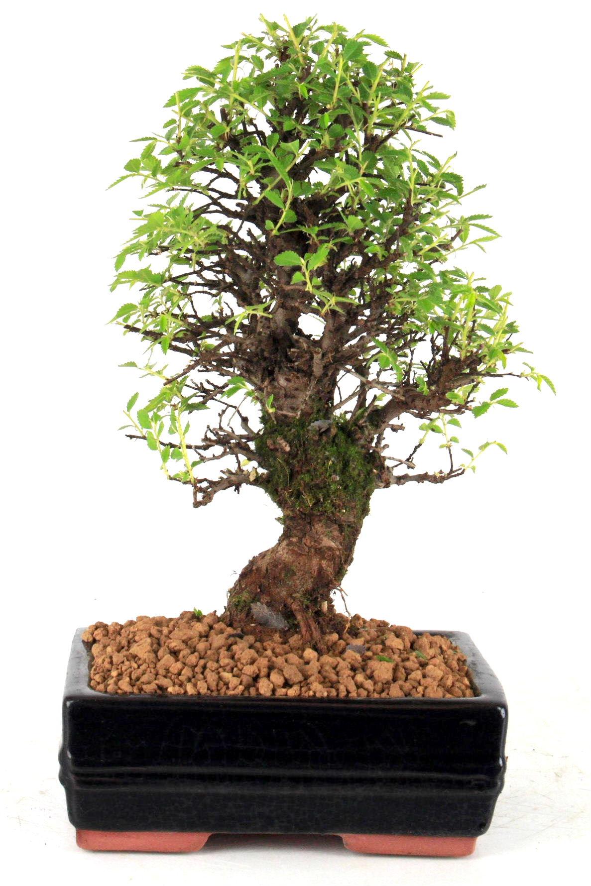 japanische ulme bonsai 29 cm 1610 bei oyaki bonsai kaufen. Black Bedroom Furniture Sets. Home Design Ideas