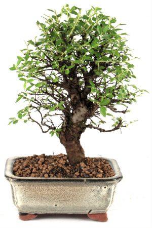 japanische ulme-bonsai 32 cm 1611 bei oyaki bonsai kaufen, Hause und Garten