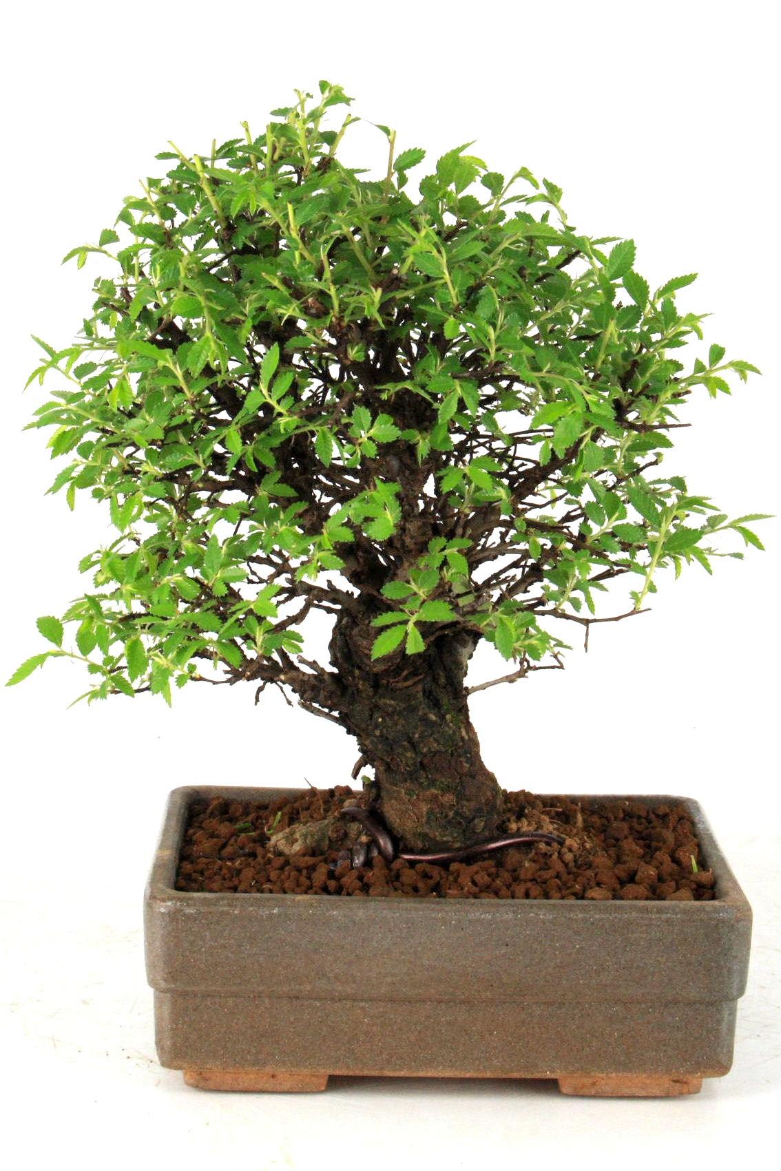 Japanische ulme bonsai 27 cm 1628 bei oyaki bonsai kaufen for Bonsai versand