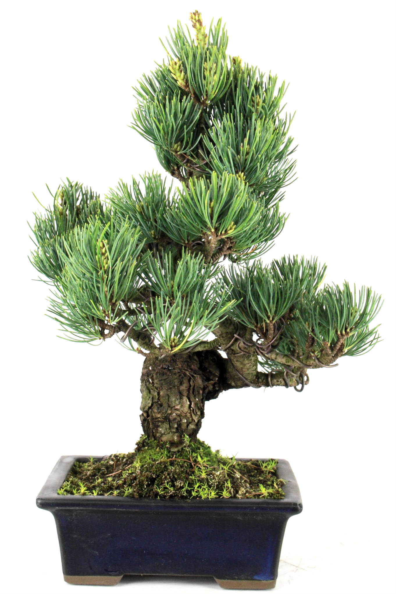 Bonsai m dchenkiefer aus japan 32 cm 10 jahre b1613 ebay for Bonsai onlineshop