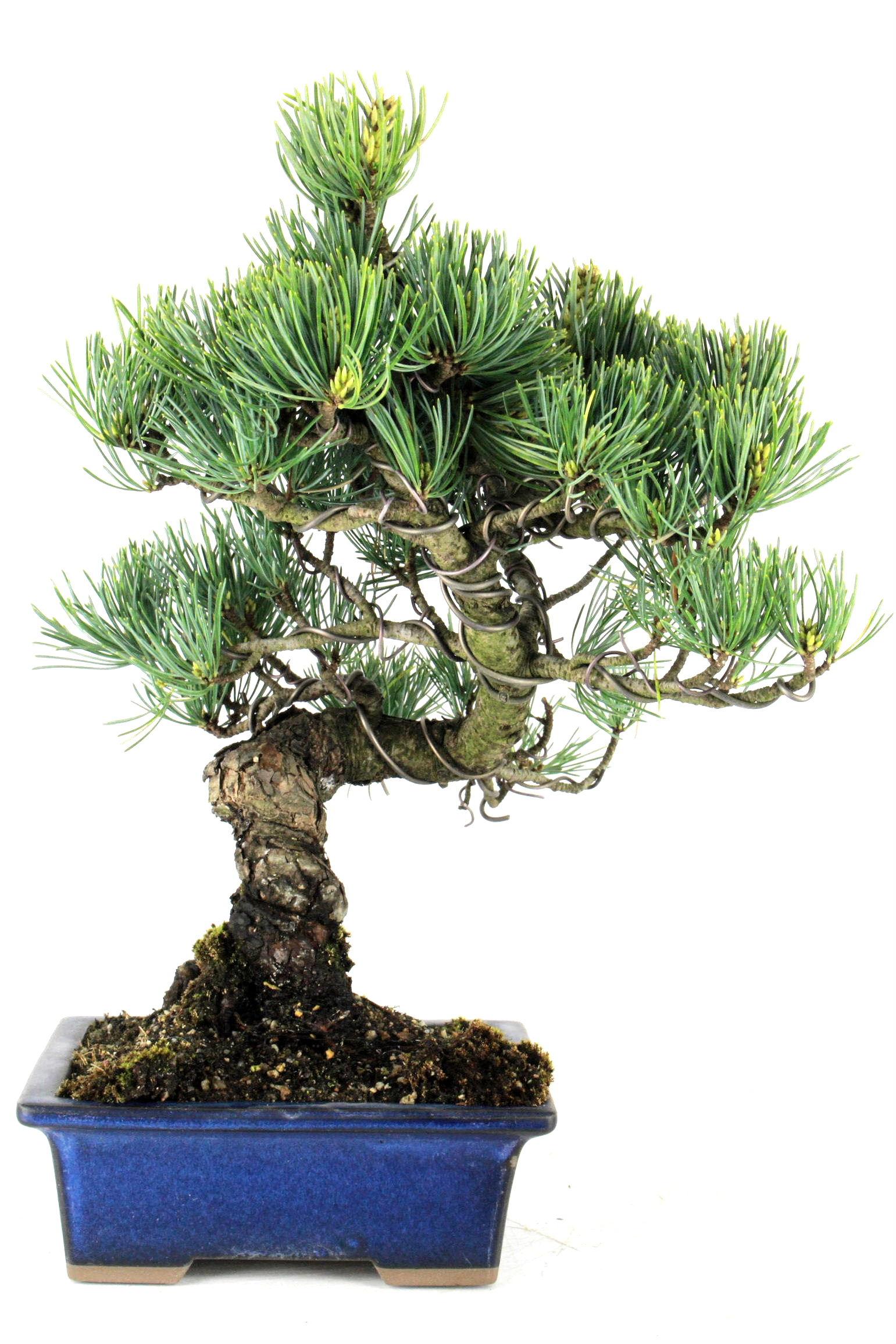 bonsai m dchenkiefer aus japan 34 cm 10 jahre b1623 bei oyaki bonsai kaufen. Black Bedroom Furniture Sets. Home Design Ideas
