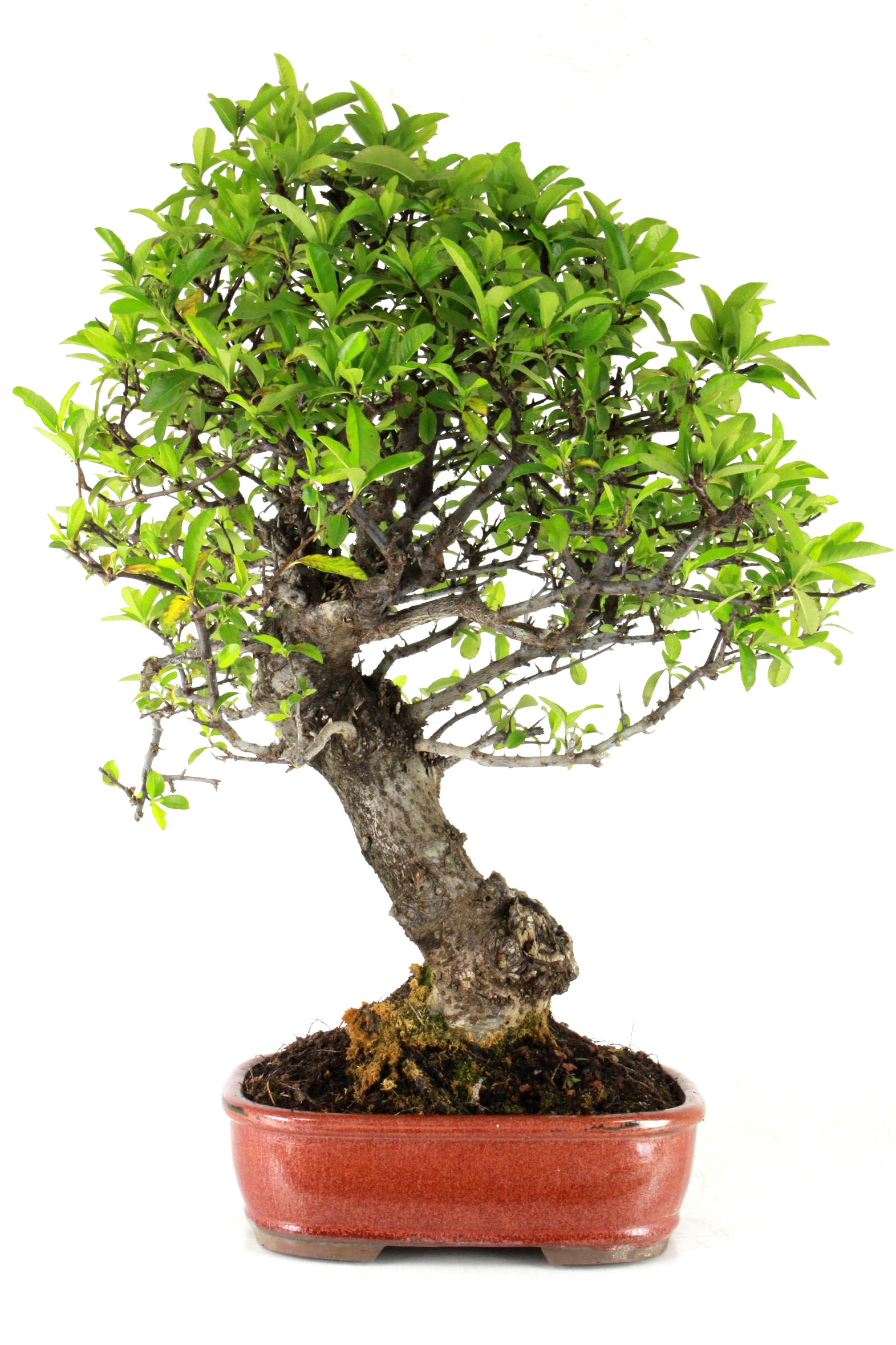 Feuerdorn bersicht onlineshop oyaki bonsai for Bonsai onlineshop