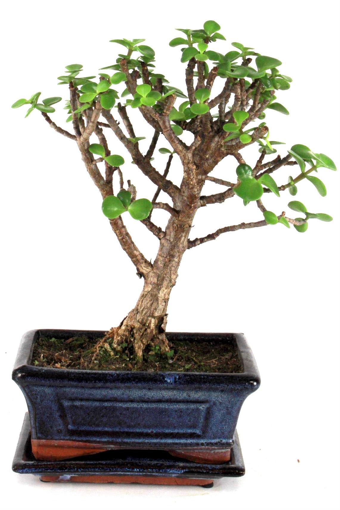 dickblatt 25 cm b164 bei oyaki bonsai kaufen. Black Bedroom Furniture Sets. Home Design Ideas
