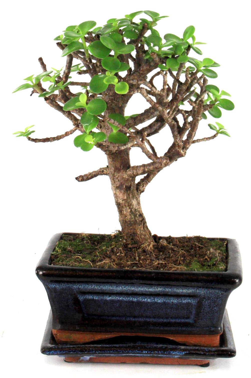 dickblatt 25 cm b165 bei oyaki bonsai kaufen. Black Bedroom Furniture Sets. Home Design Ideas