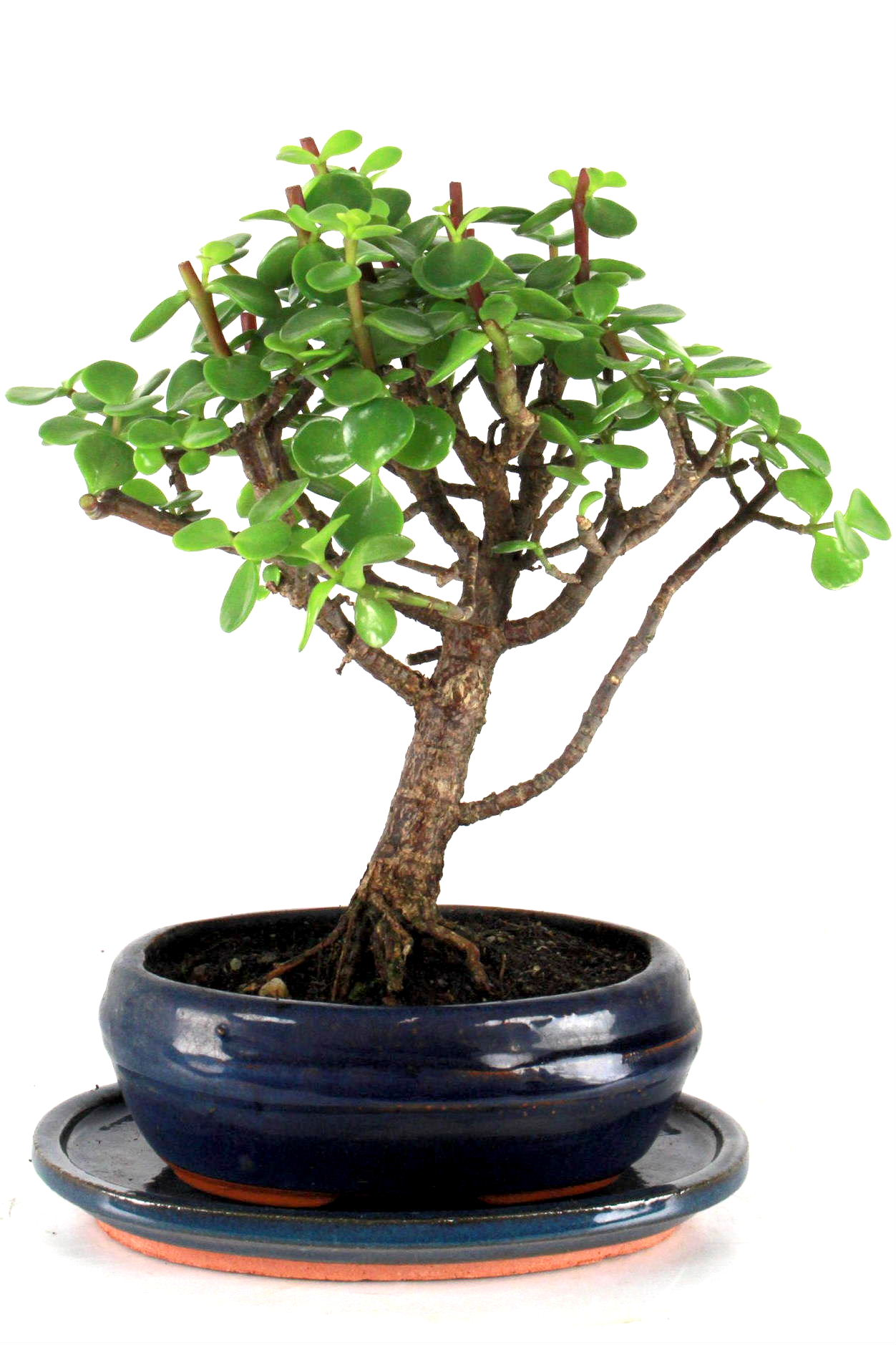 Dickblatt bersicht onlineshop oyaki bonsai for Bonsai onlineshop