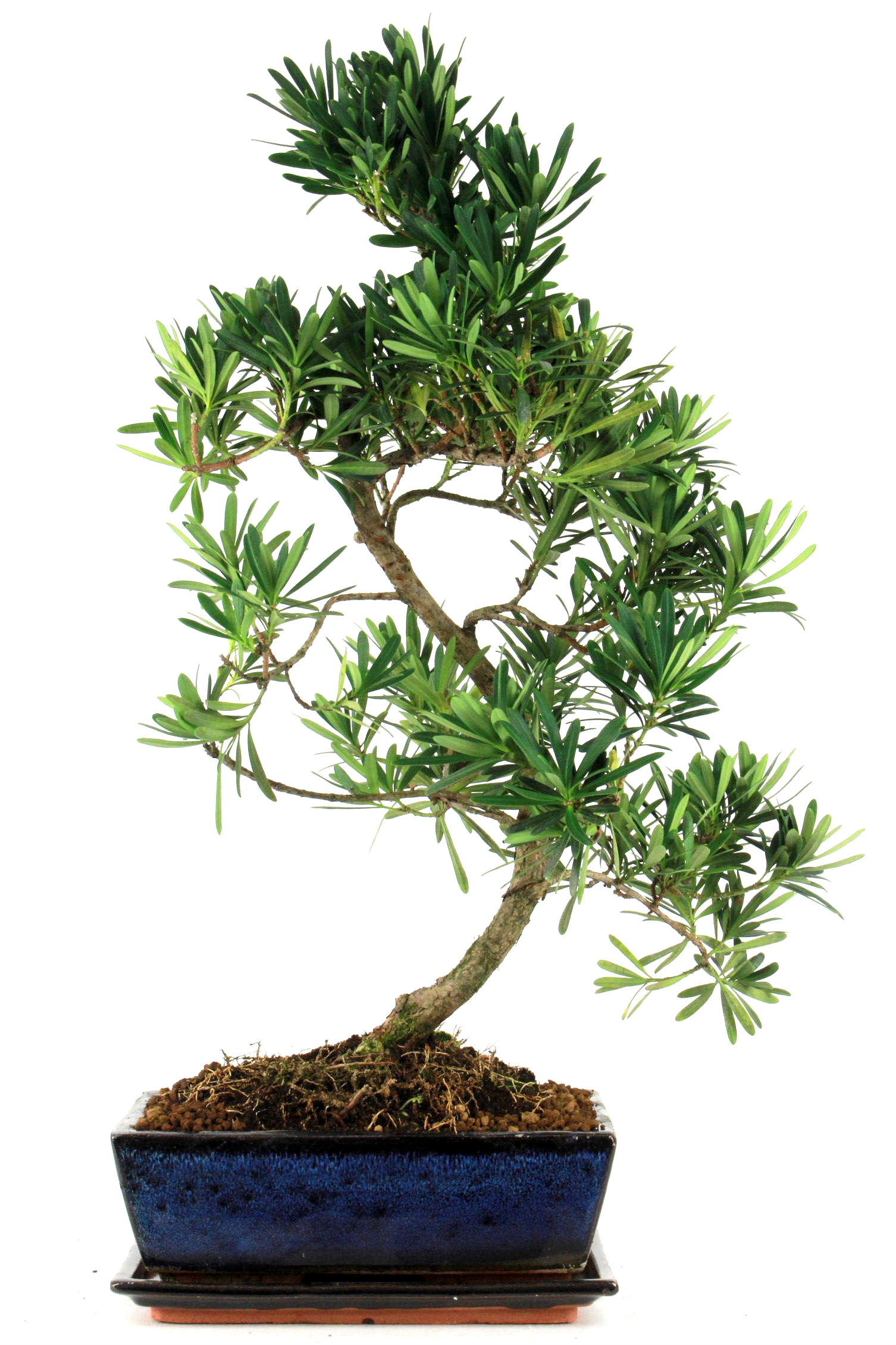 steineibe bonsai 50 55 cm 226 bei oyaki bonsai kaufen. Black Bedroom Furniture Sets. Home Design Ideas