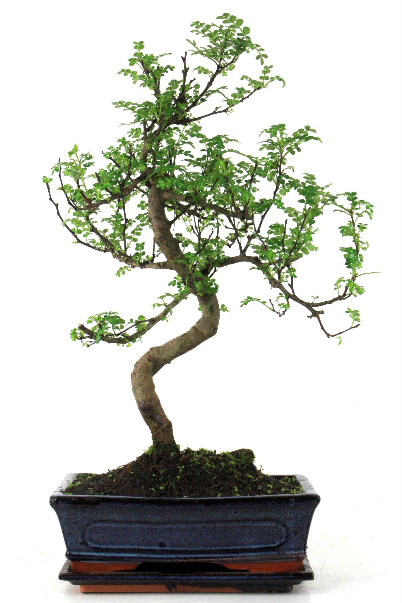 Szechuan pfeffer 50 cm 241 bei oyaki bonsai kaufen for Bonsai onlineshop