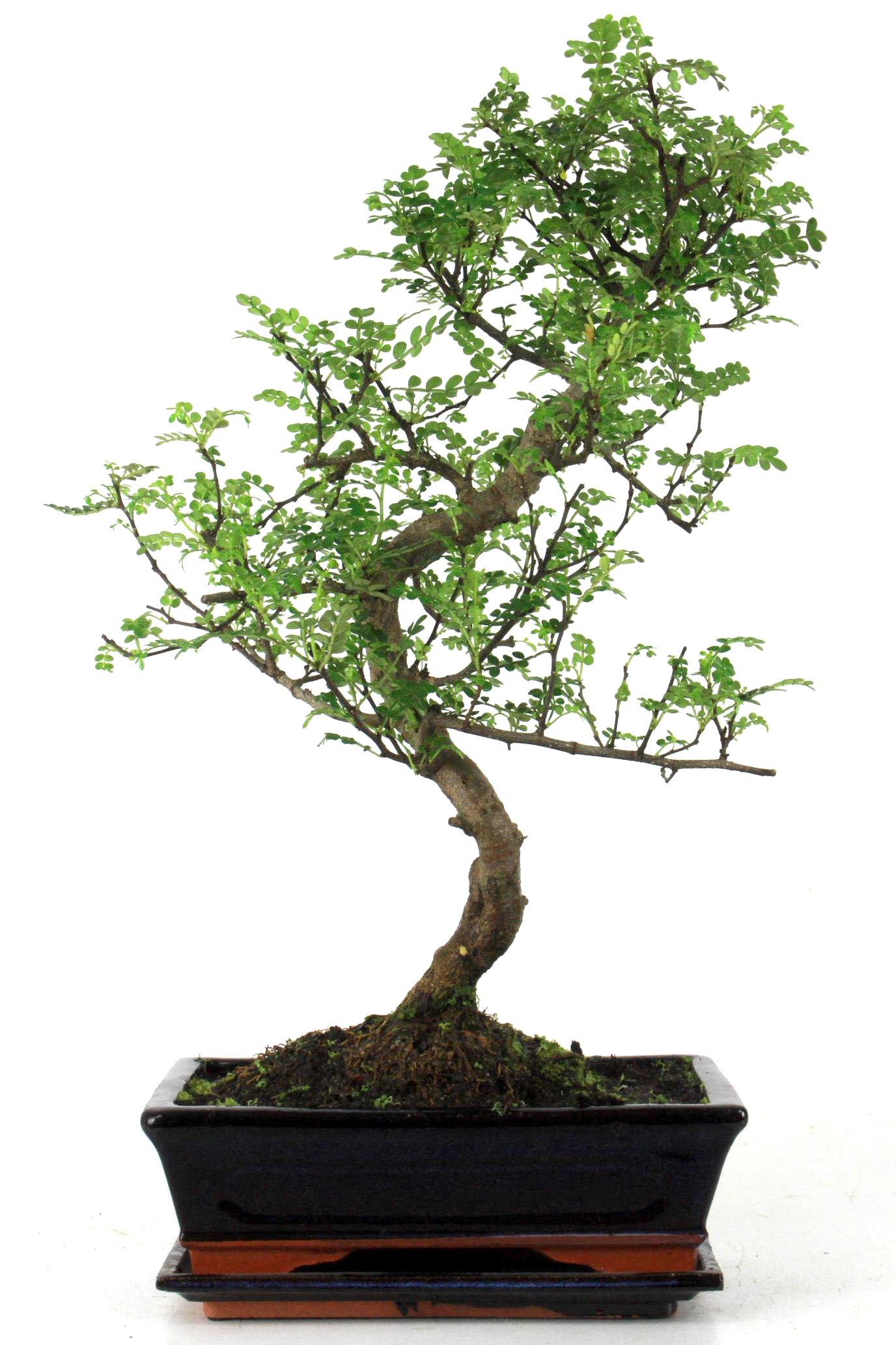 Szechuan pfeffer 50 cm 245 bei oyaki bonsai kaufen for Bonsai onlineshop