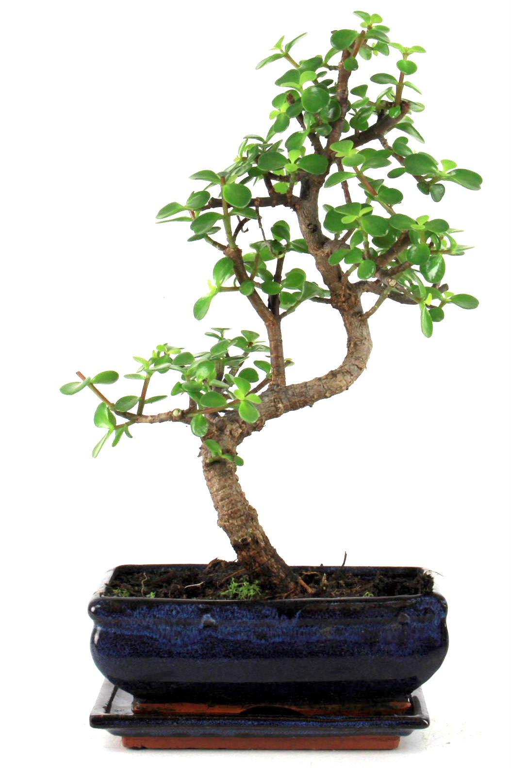 Dickblatt bonsai 35 40 cm s198 bei oyaki bonsai kaufen for Bonsai onlineshop