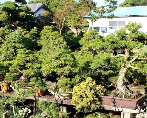 Typische Bonsaigärtnerei Japan