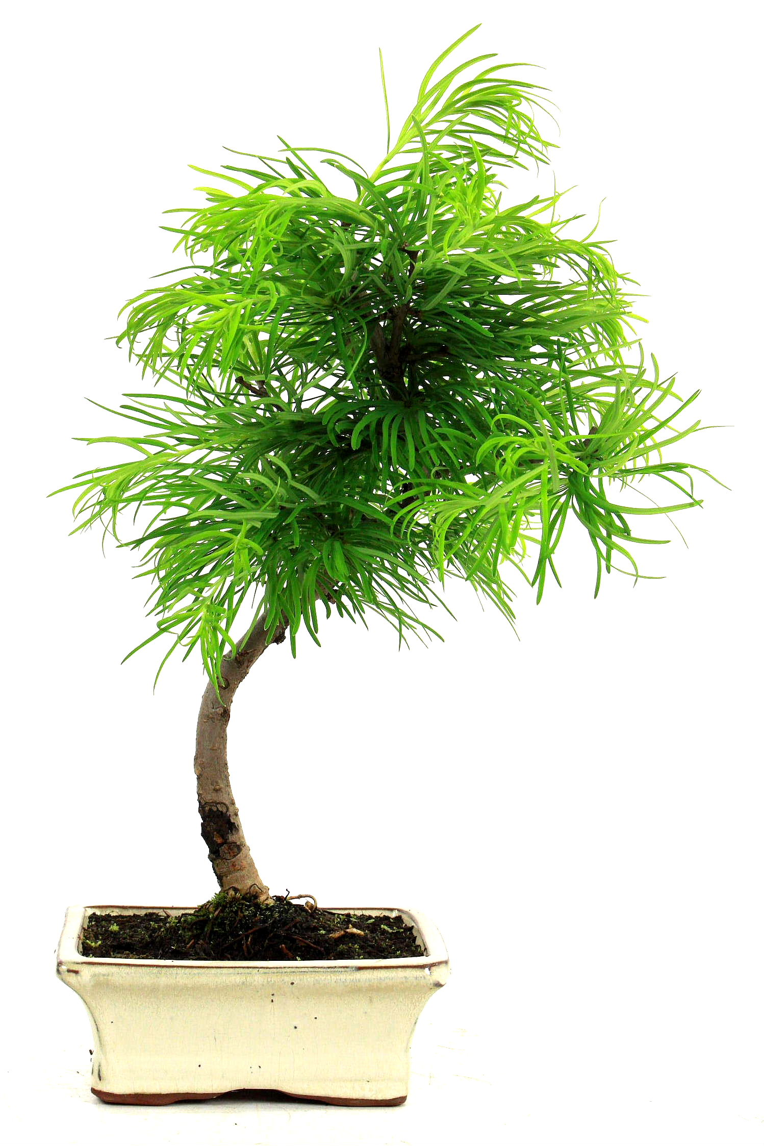 goldl rche pseudolarix amabilis 40 cm 1611 bei oyaki bonsai kaufen. Black Bedroom Furniture Sets. Home Design Ideas