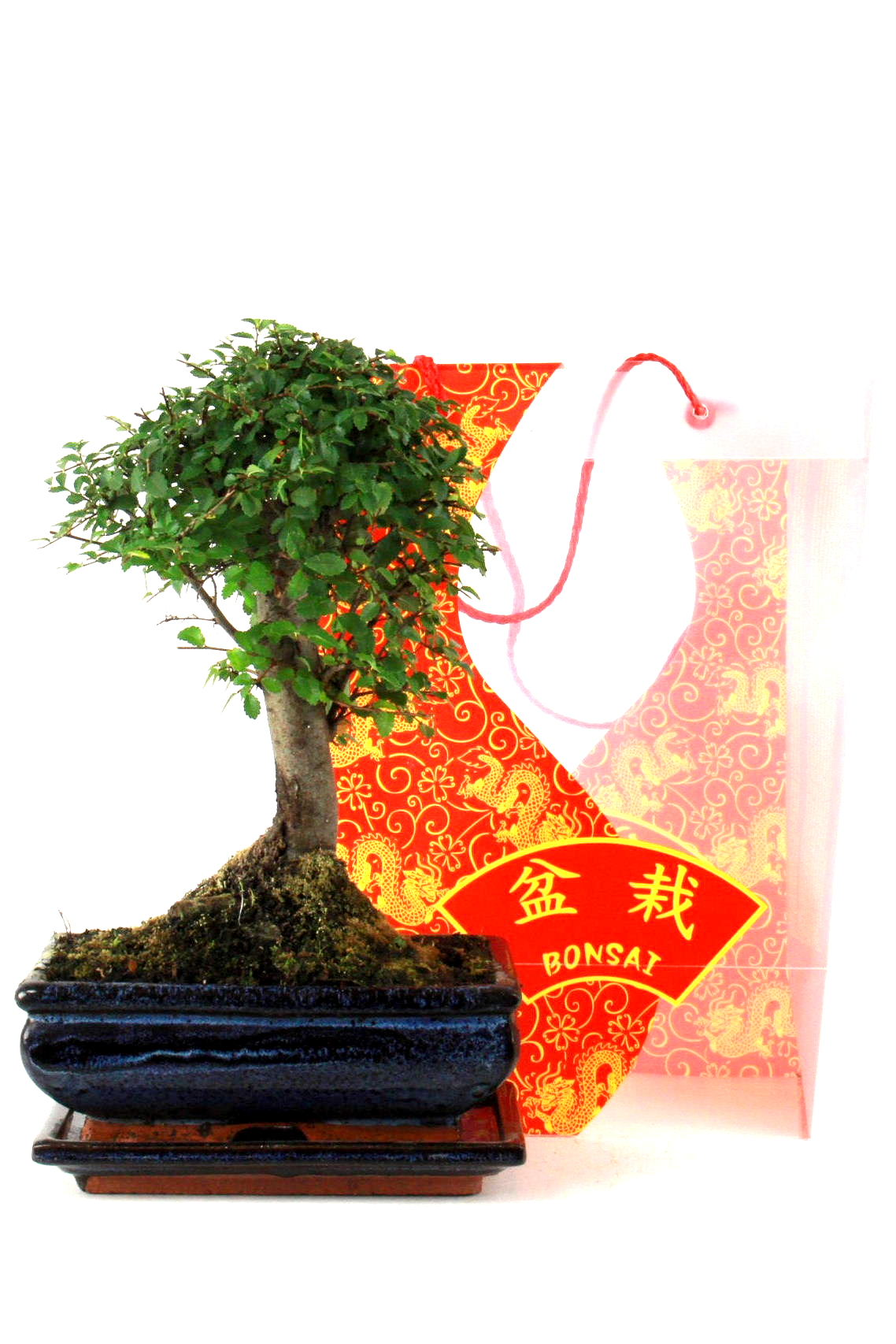 Indoor bonsai bersicht onlineshop oyaki bonsai for Bonsai versand
