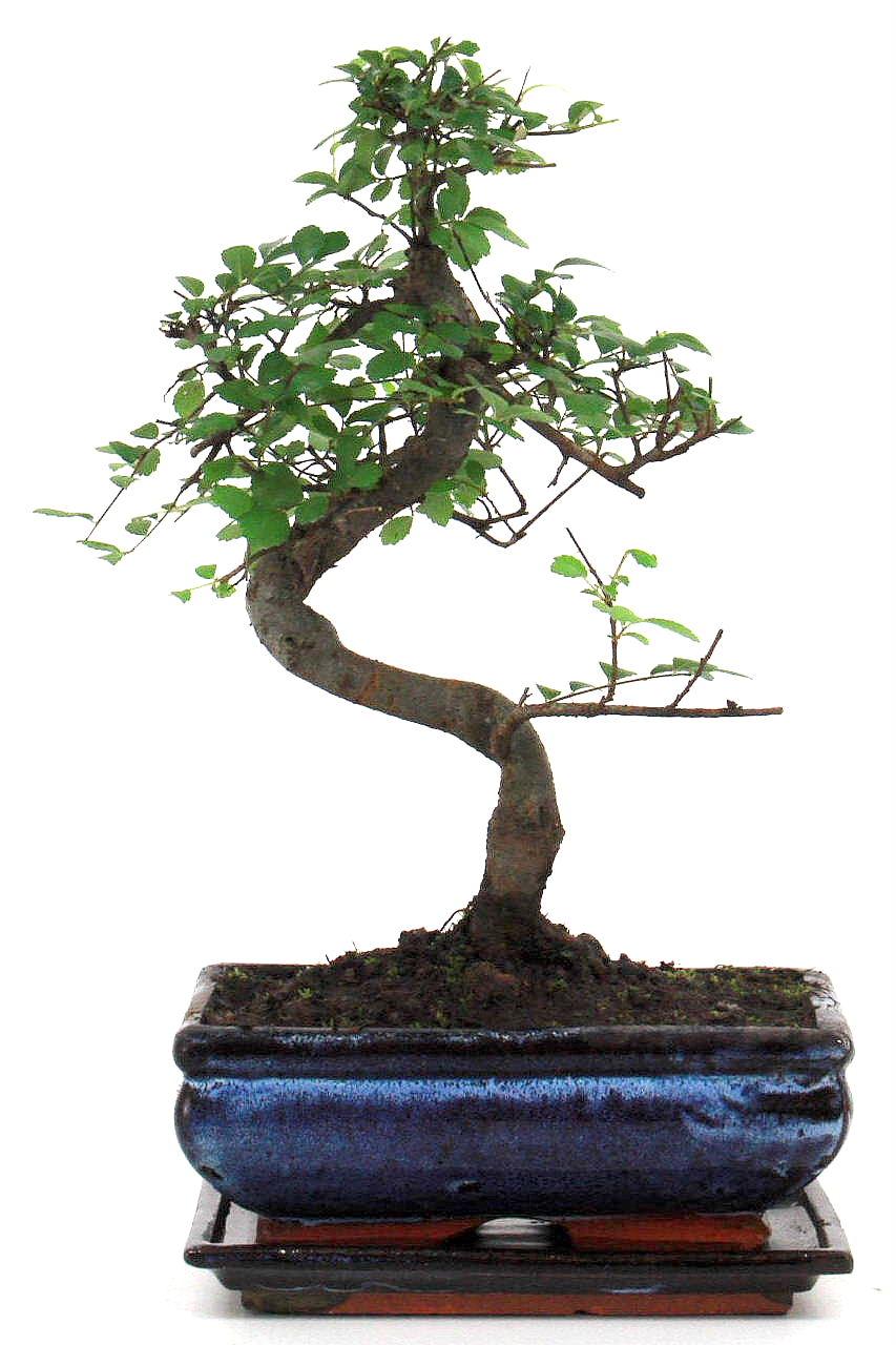 beautiful chinesische ulme bonsai cm bei oyaki kaufen with genki bonsai. Black Bedroom Furniture Sets. Home Design Ideas