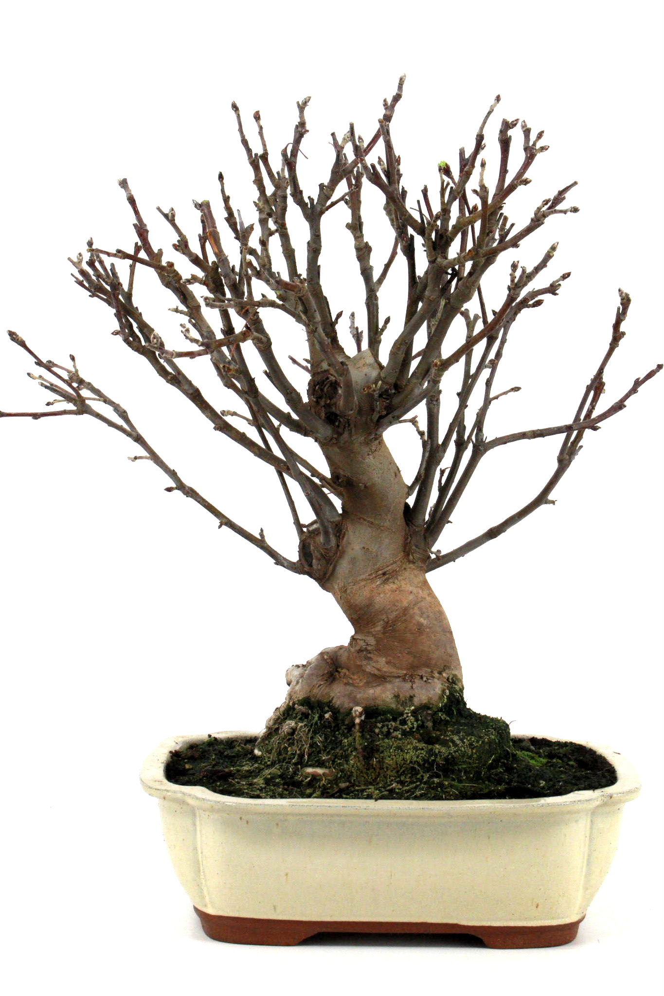 Bonsai apfel malus halliana 55 60 cm 305 bei oyaki bonsai for Bonsai onlineshop
