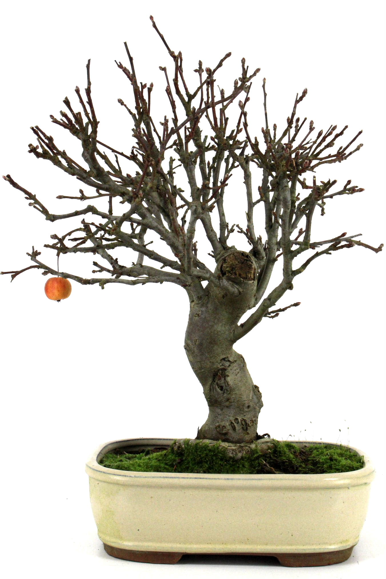 bonsai apfel malus halliana 50 55 cm 261 bei oyaki bonsai. Black Bedroom Furniture Sets. Home Design Ideas