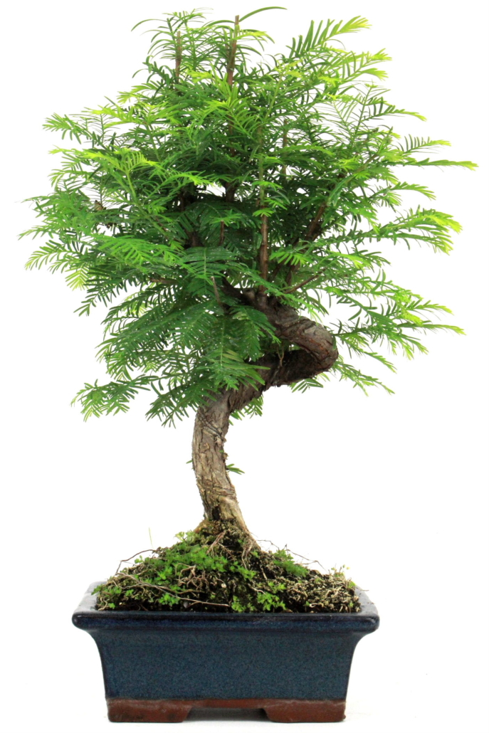 bonsai urweltmammutbaum 40 45 cm 182 bei oyaki bonsai kaufen. Black Bedroom Furniture Sets. Home Design Ideas