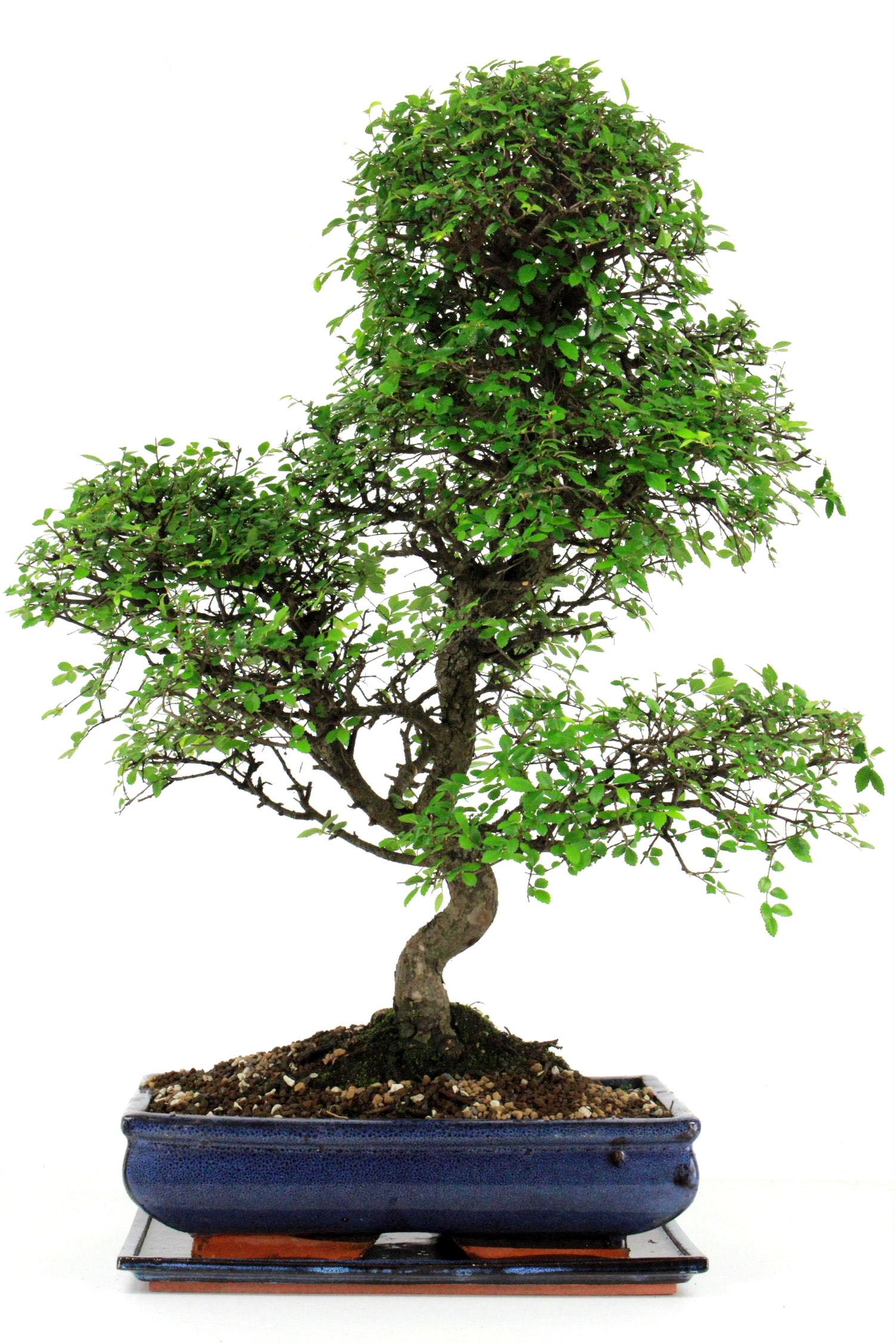 chinesische ulme bonsai 75 cm 342 bei oyaki bonsai kaufen. Black Bedroom Furniture Sets. Home Design Ideas